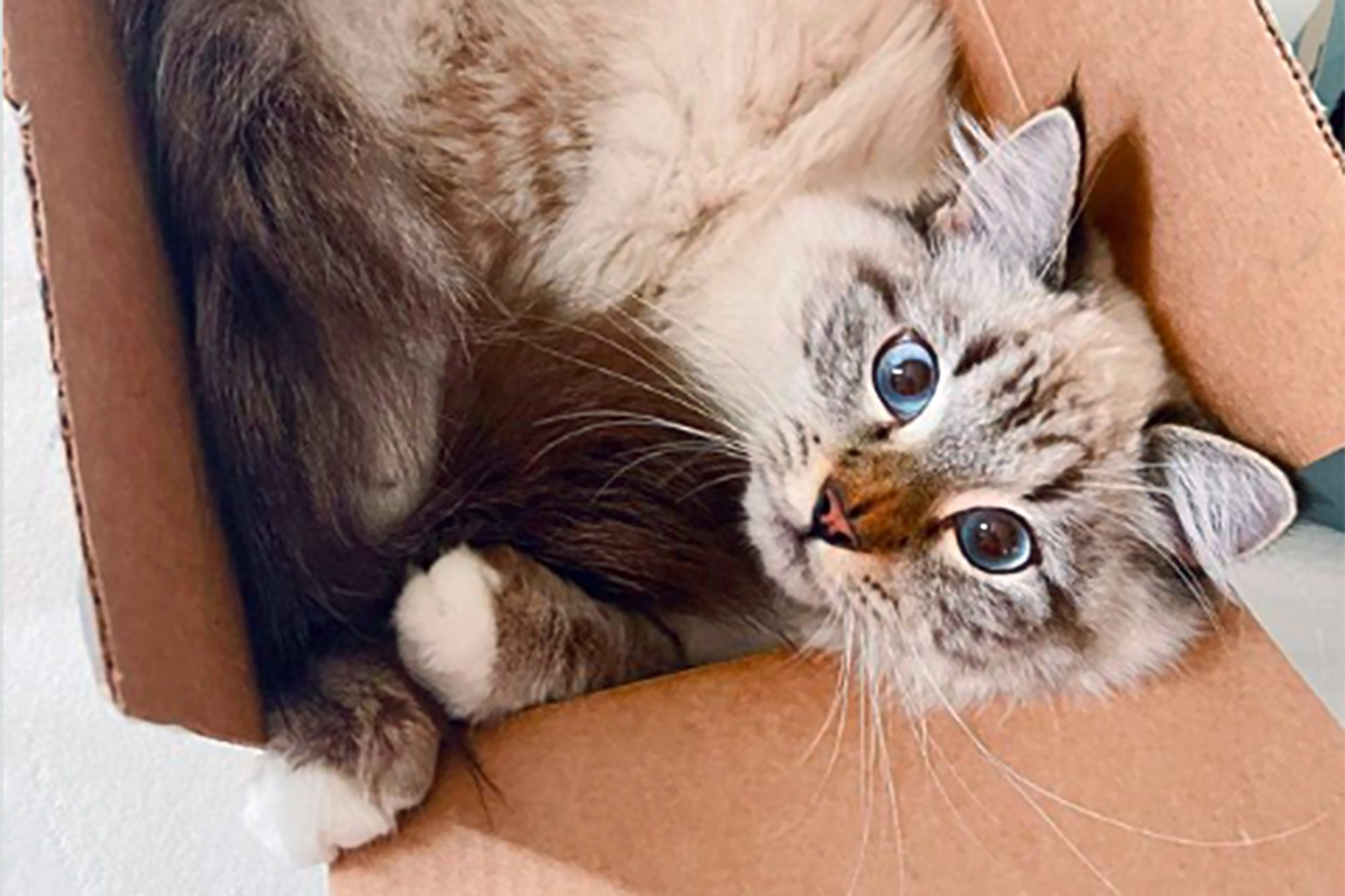 tabby cat curled up in a cardboard box