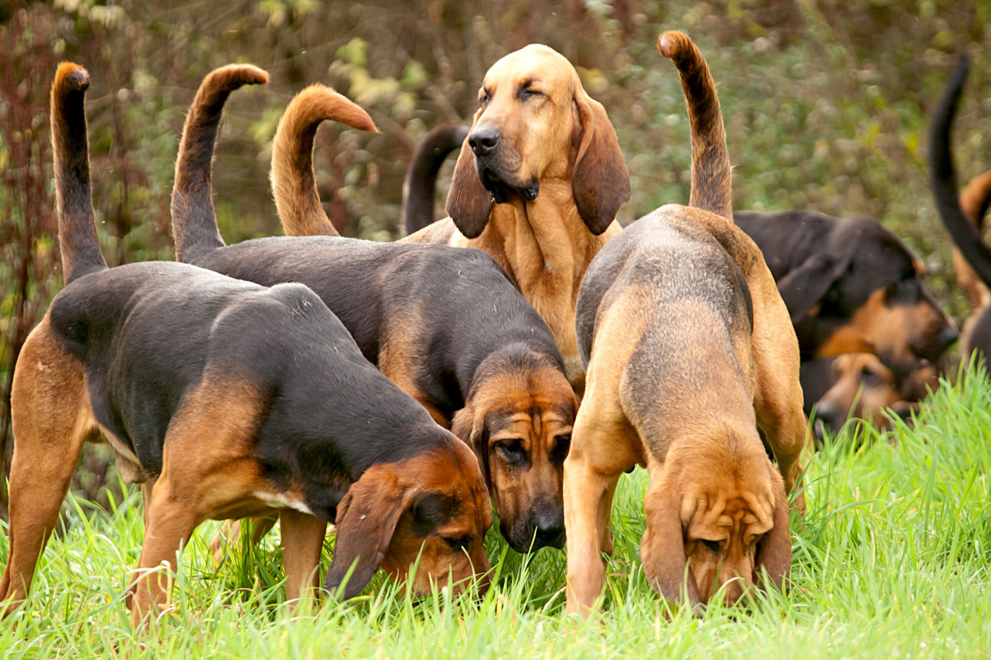 pack of bloodhounds sniffing in the grass