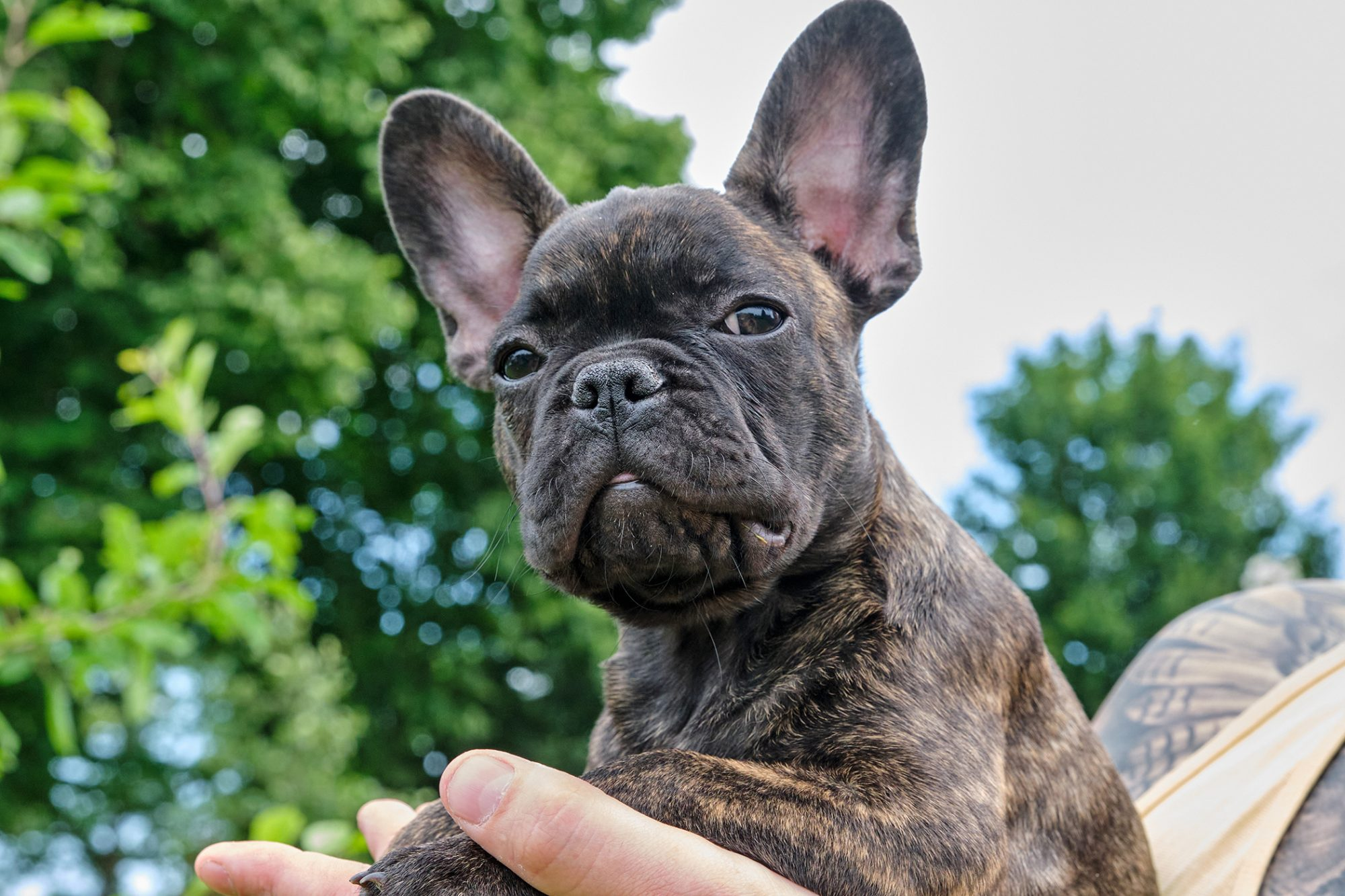 brindle french bulldog being held by his owner