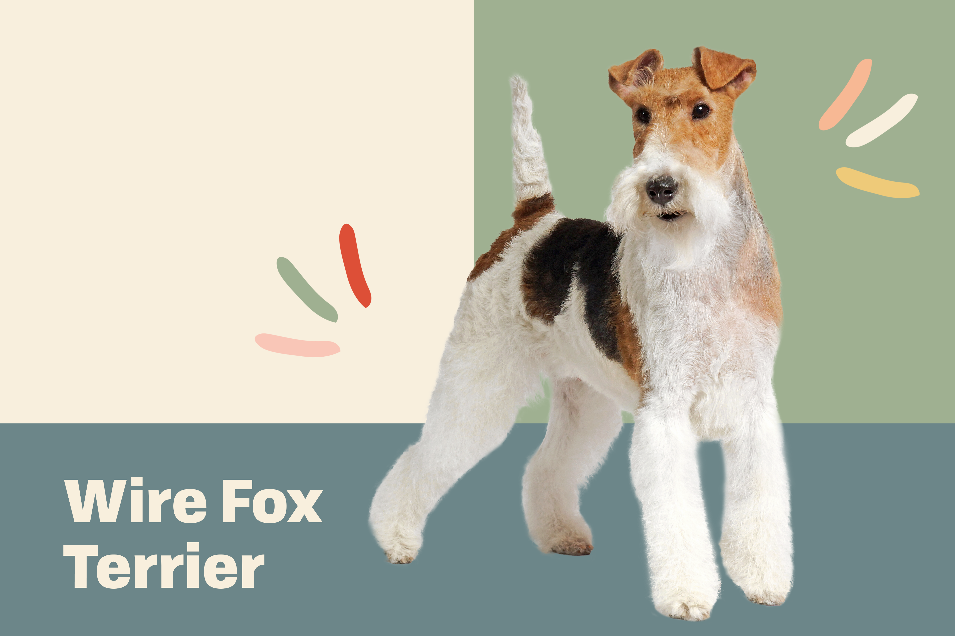 wire fox terrier dog breed profile treatment dog on top of illustrated background