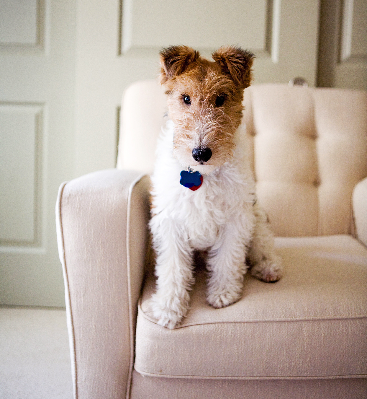 cute wire fox terrier sitting inside on a cream couch