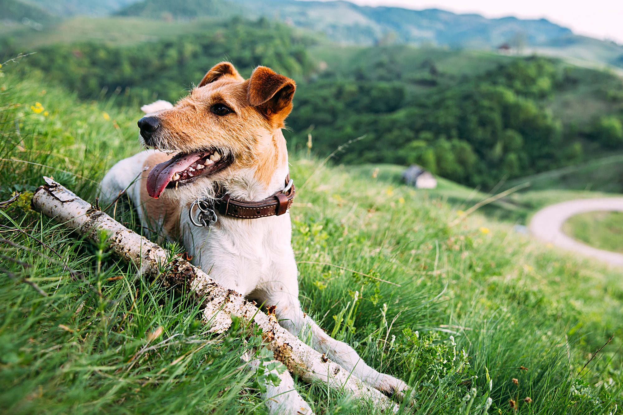 wire fox terrier lying with a big stick outside on a grassy hill