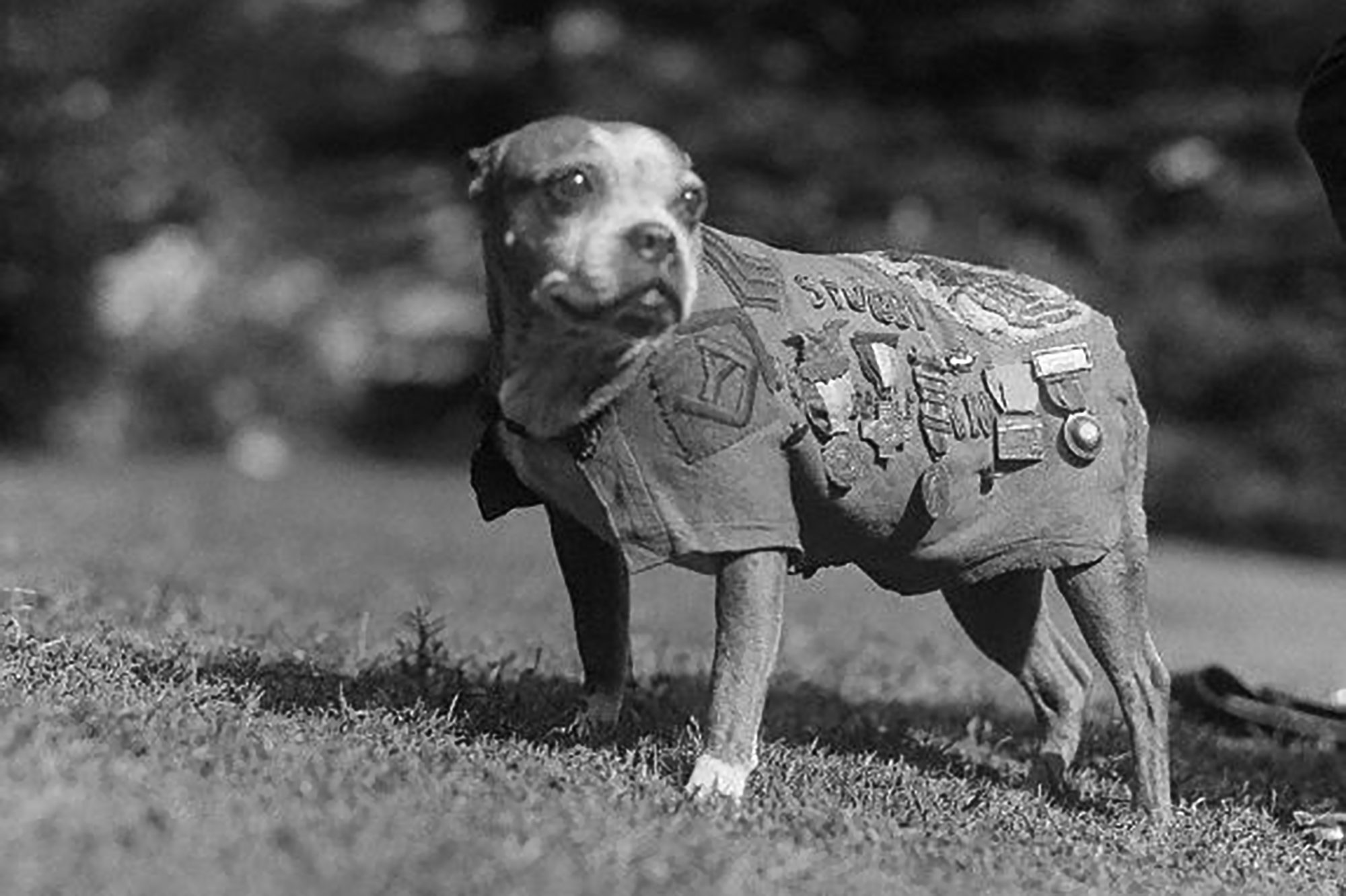 American Staffordshire terrier named Stubby who was a Sergeant during WWI