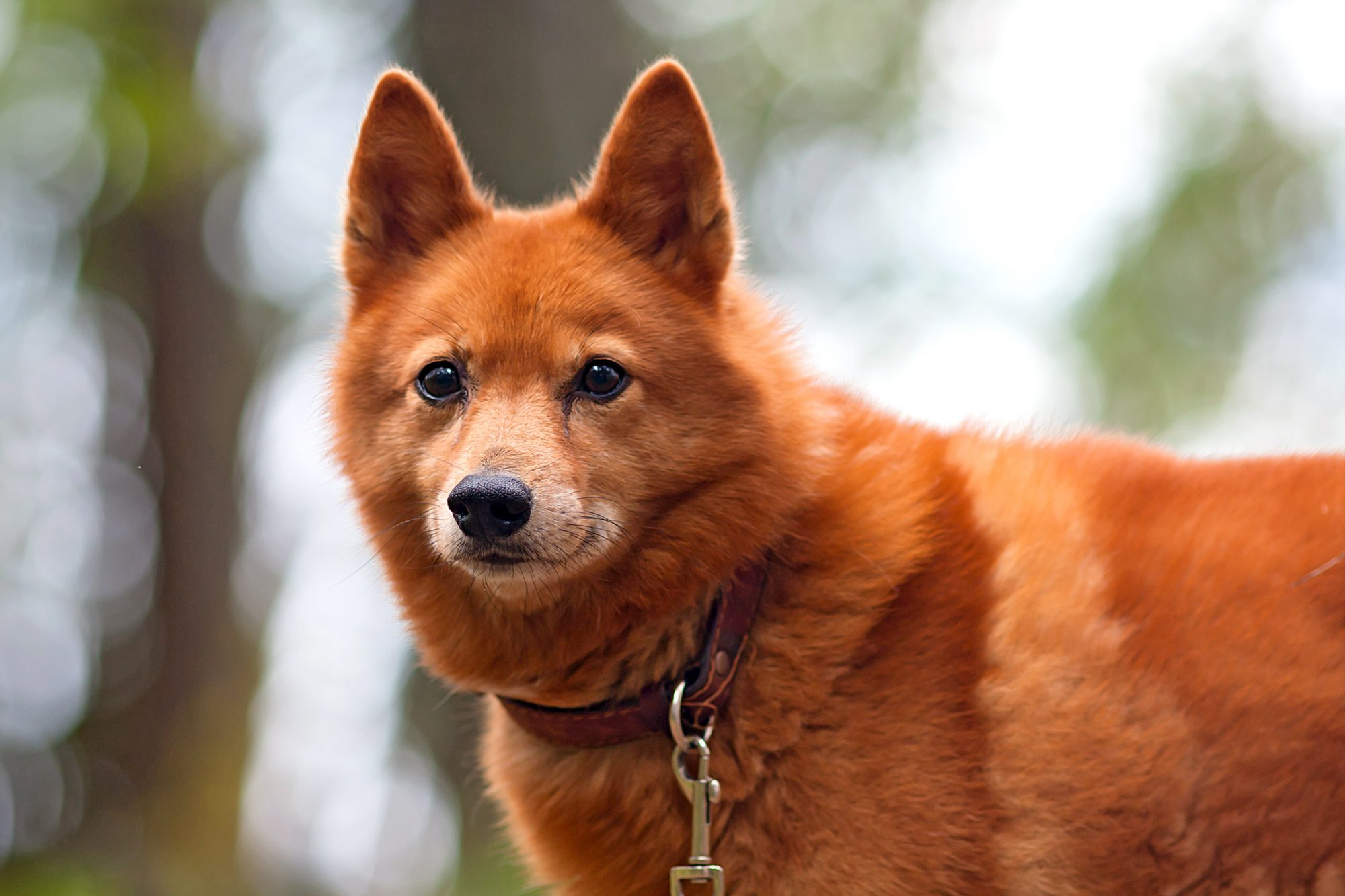 finnish spitz puppy wearing a red leather collar standing in a forest