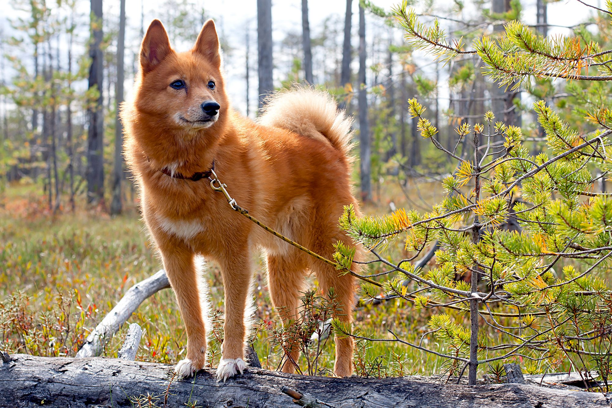 finnish spitz puppy standing on a log in a forest