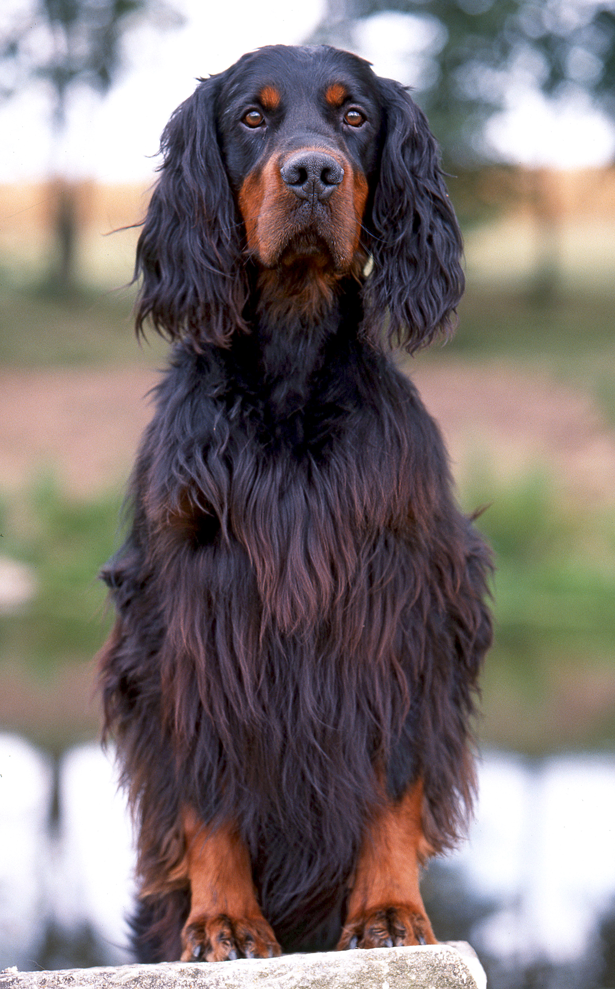 closeup of a gordon setter standing with their paws on a cement surface