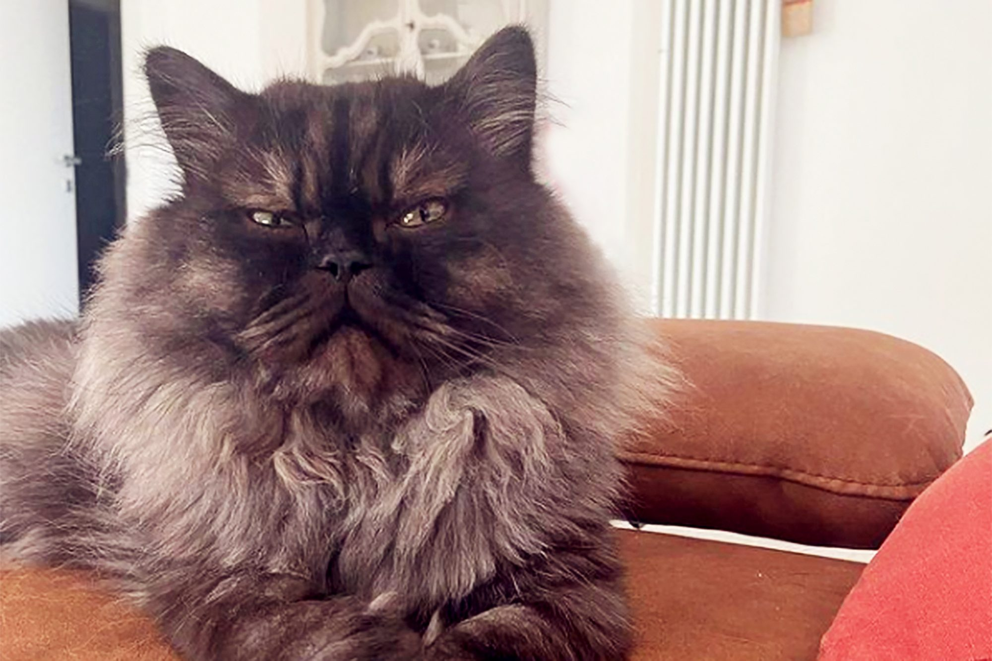furry cat with a grumpy expression