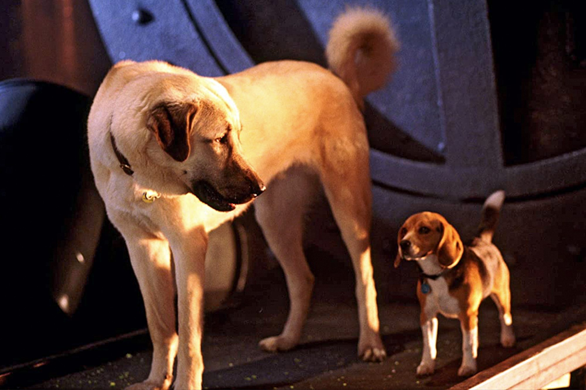 anatolian shepherd dog standing with beagle from cats and dogs movie