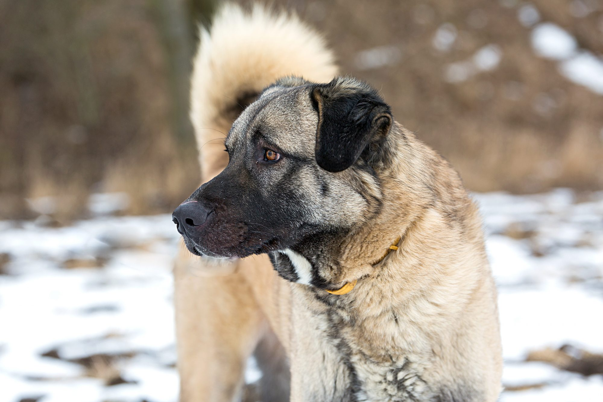 profile of an anatolian shepherd dog with tan fur and a black face standing outside in the snow