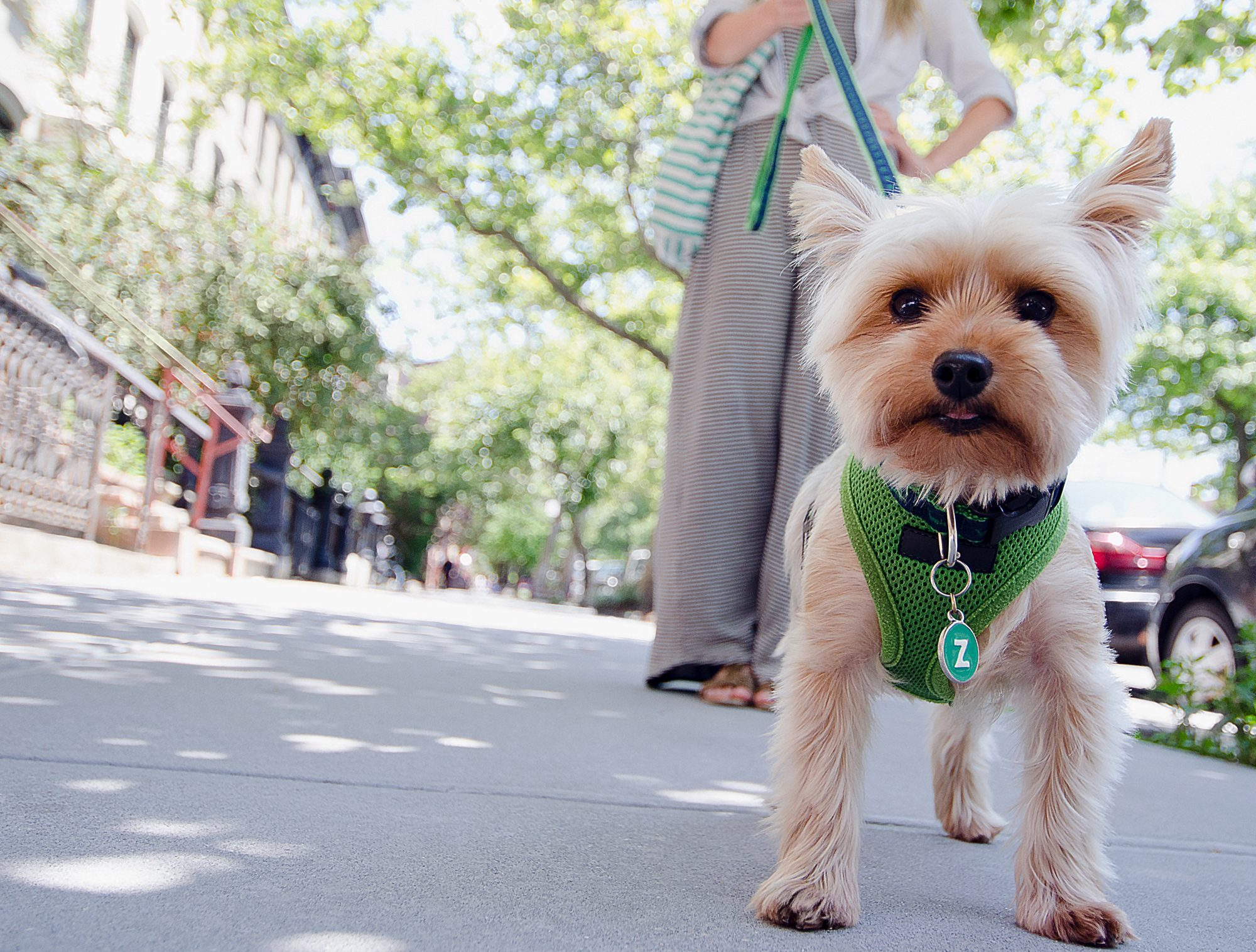 yorkie with a cute haircut walking with her owner on an urban street