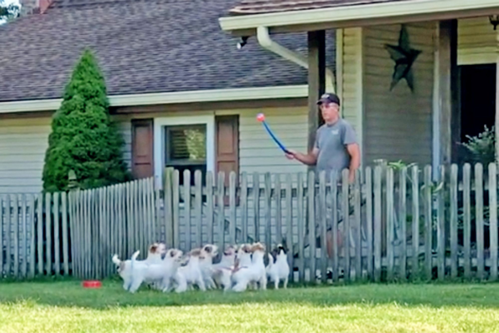 Jack Russell terries get excited for a game of fetch