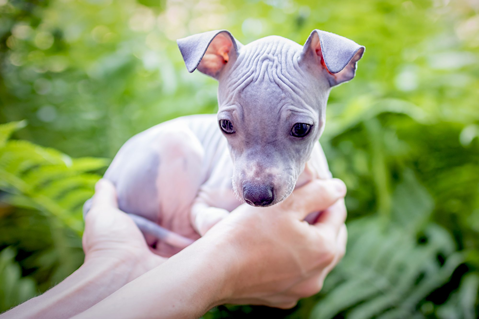 owner holding their american hairless terrier puppy in their hands near green foliage