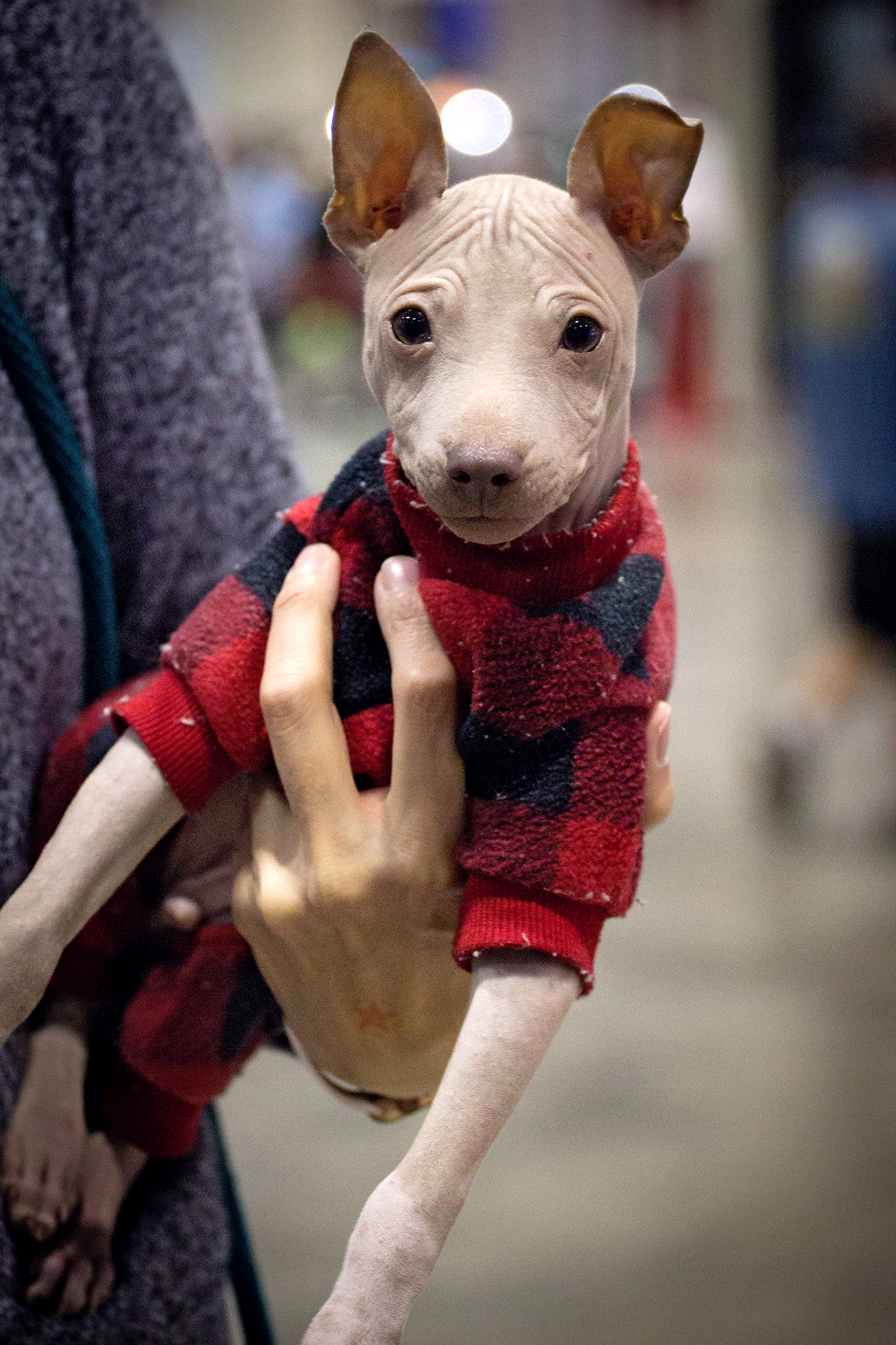 owner holding their american hairless terrier wearing a red plaid jacket