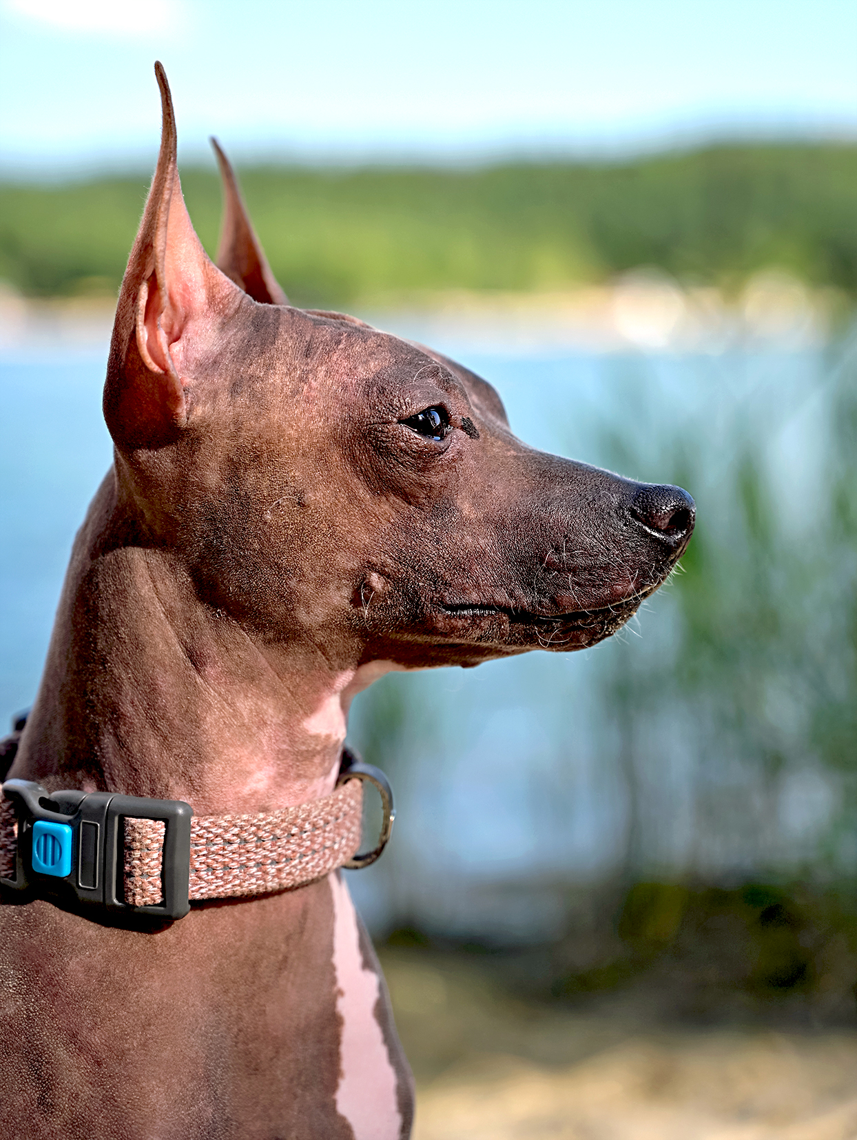 side profile of an american hairless terrier outside near body of water