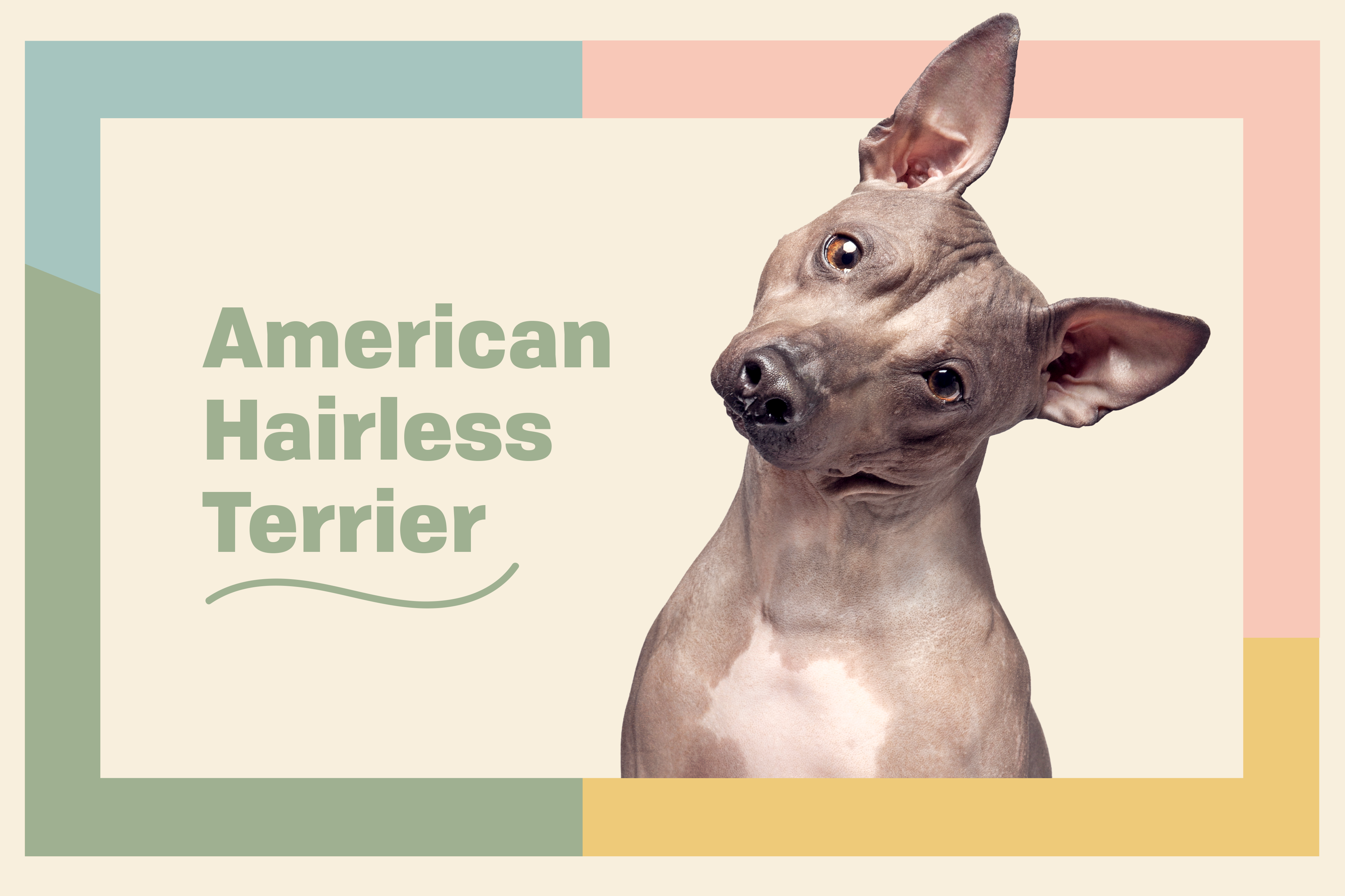 American Hairless Terrier dog breed profile treatment dog with tilted head on a yellow background