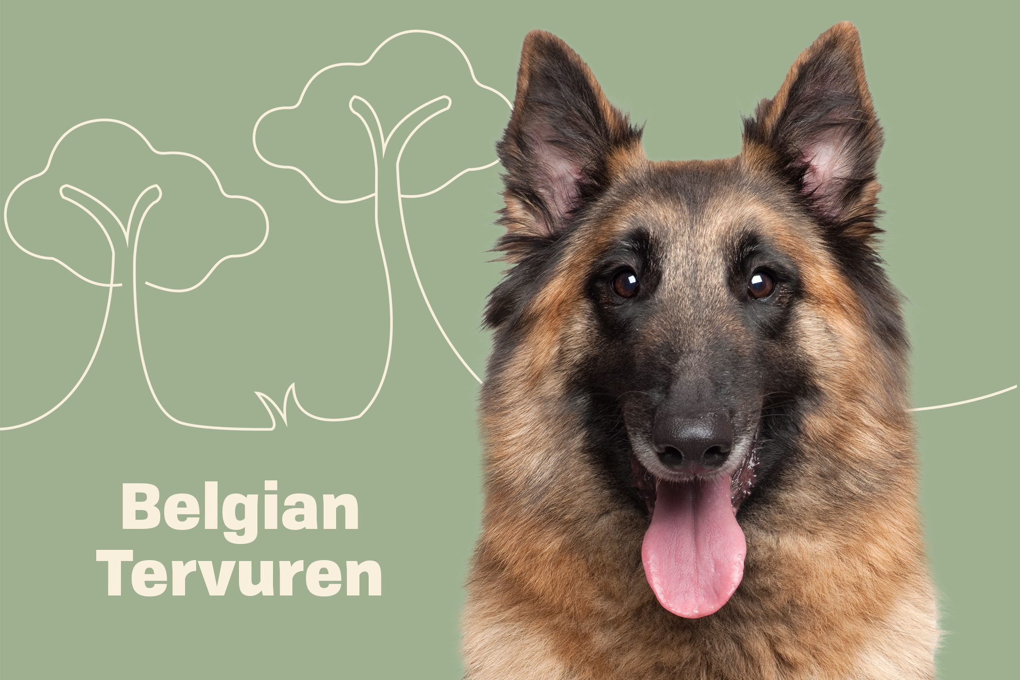 Belgian Tervuren dog breed profile treatment dog with tongue out on a green background