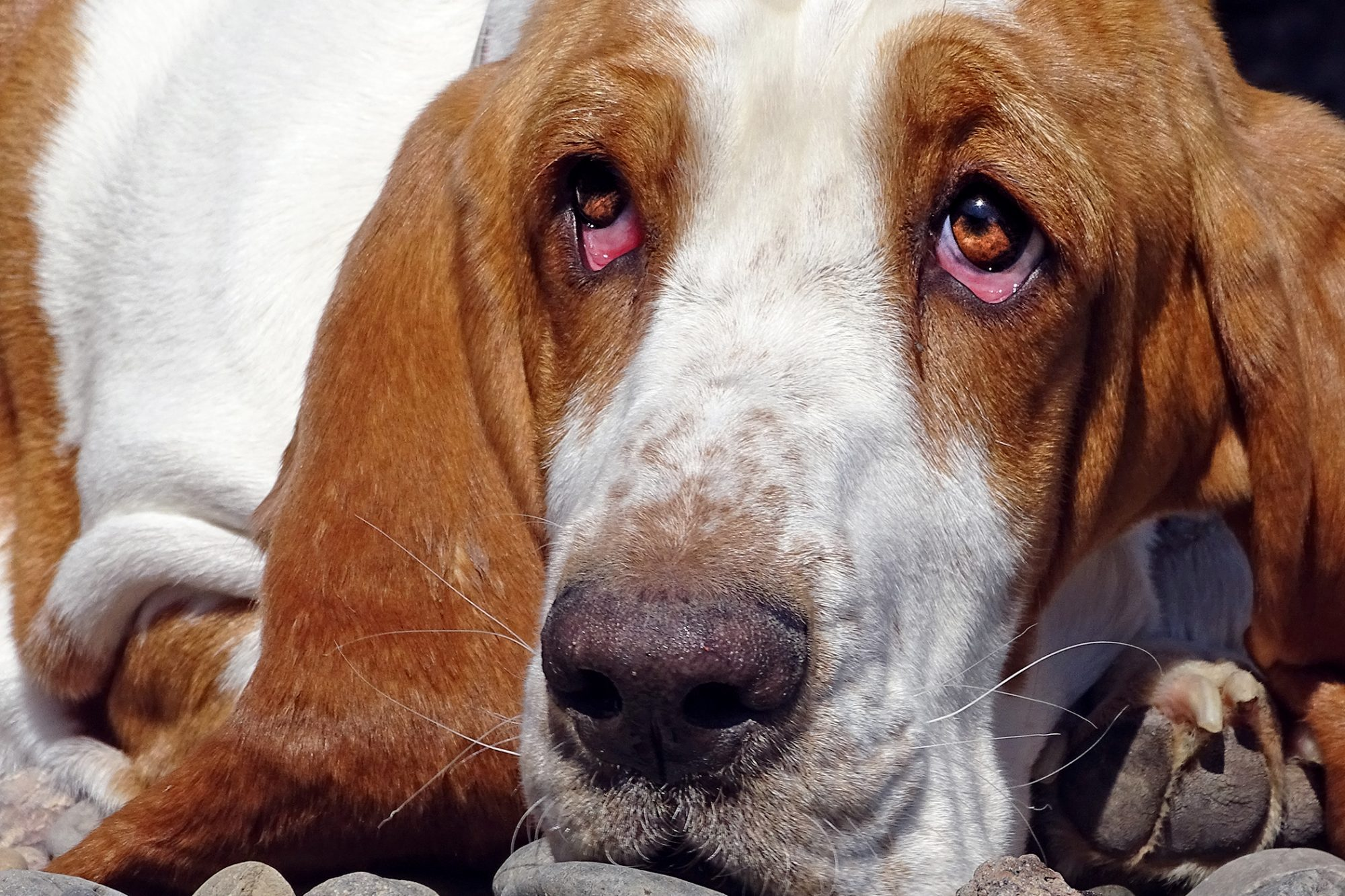 closeup of a basset hound's droopy eyes with ectropion