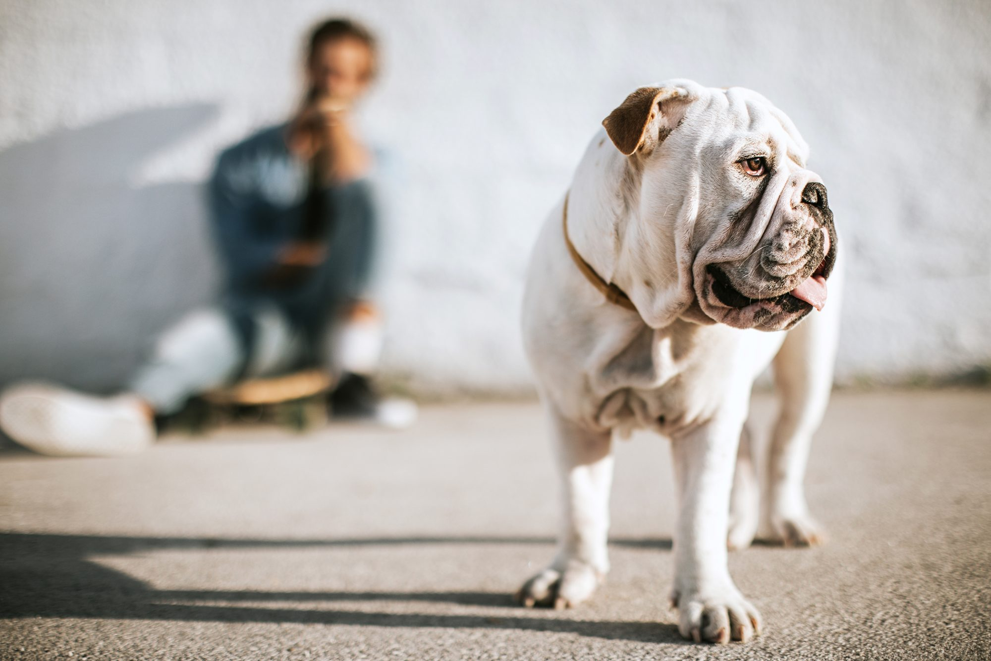 English bulldog standing on pavement with his owner in the background