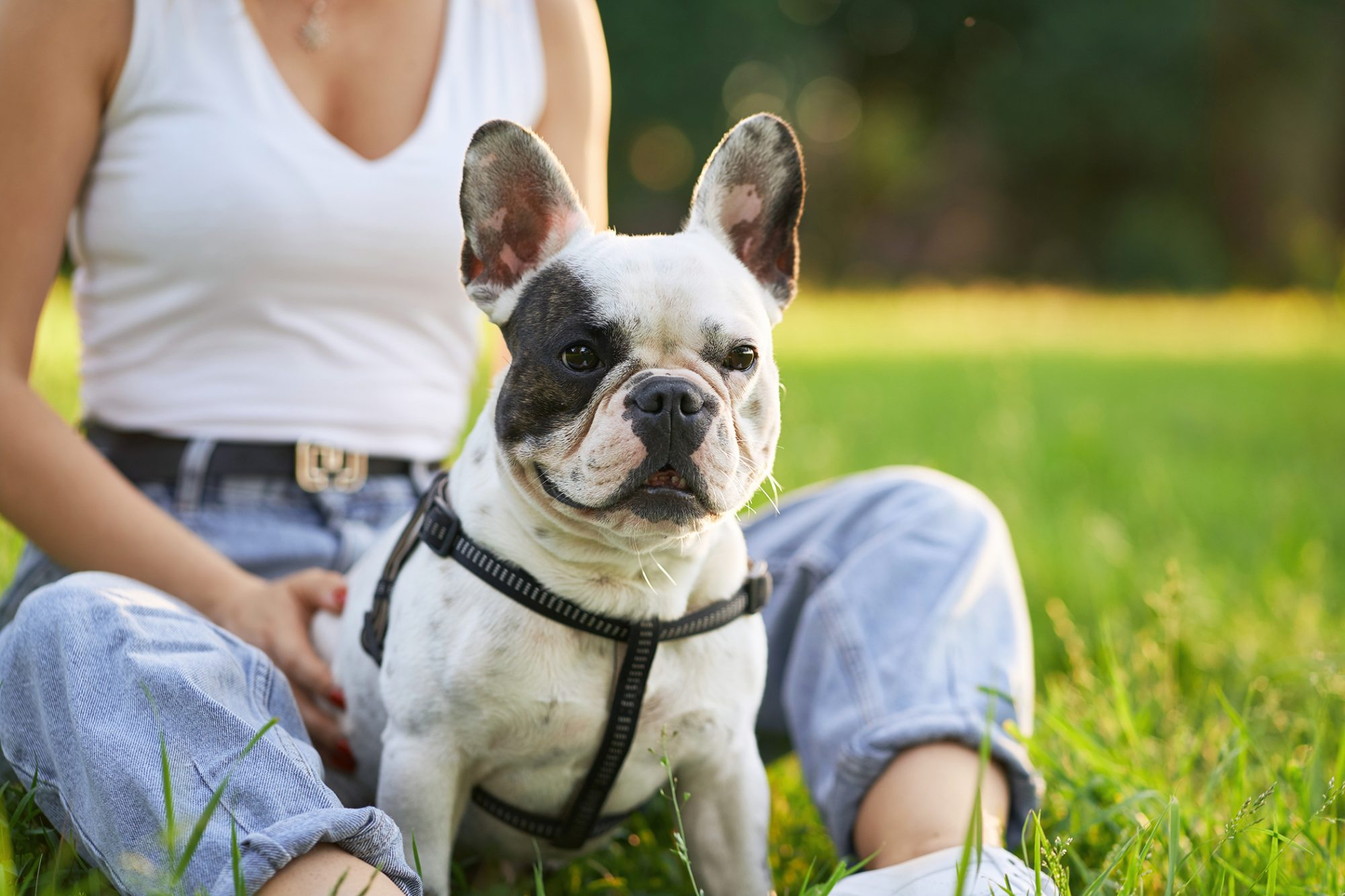 French bulldog wearing a harness sitting in her owner's lap outside in the grass