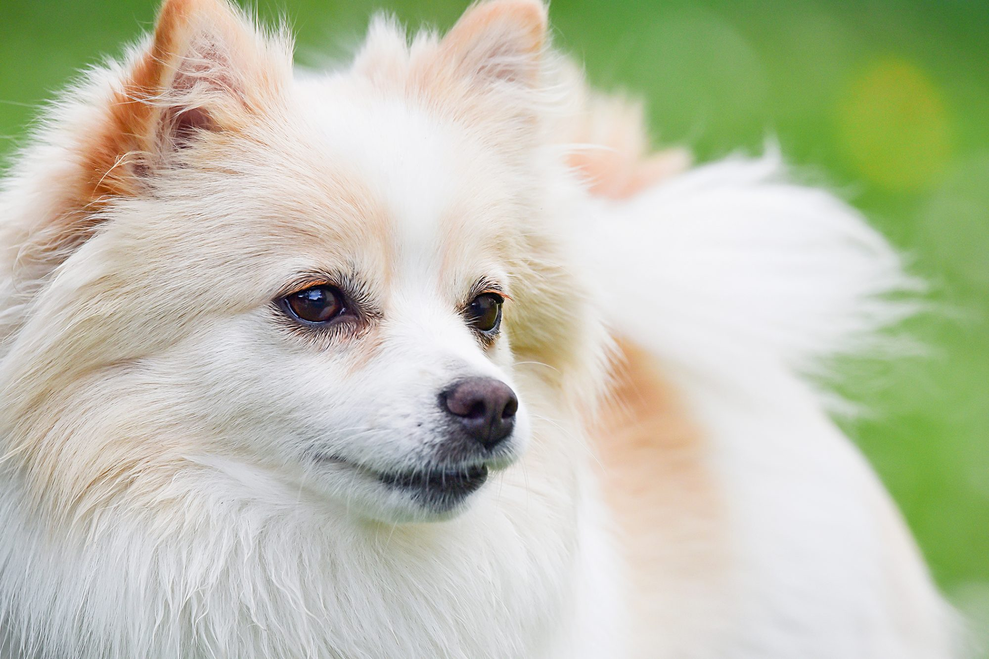 closeup of a white german spitz profile outside in grass