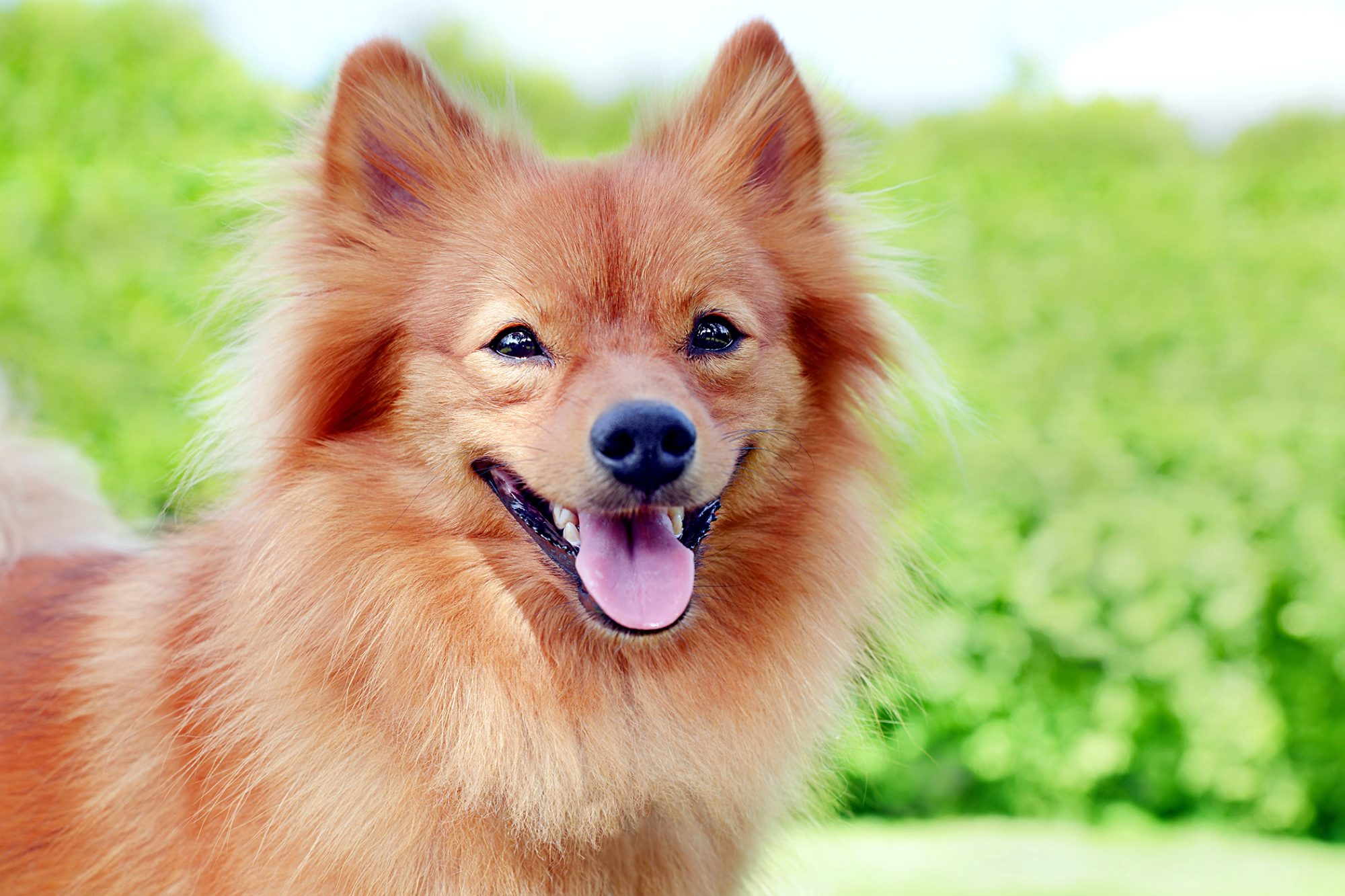 red happy german spitz dog outside