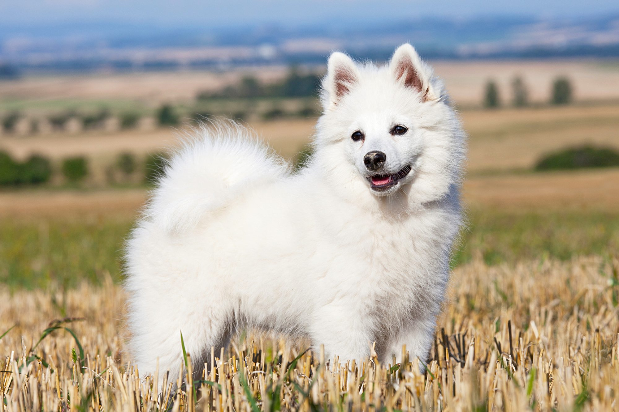white german spitz standing in a field with her tongue out