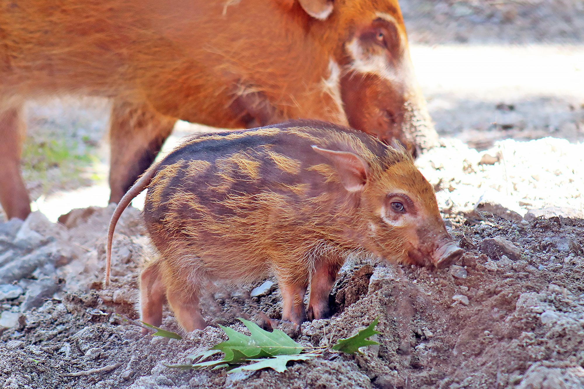 red river hog piglet with his mother