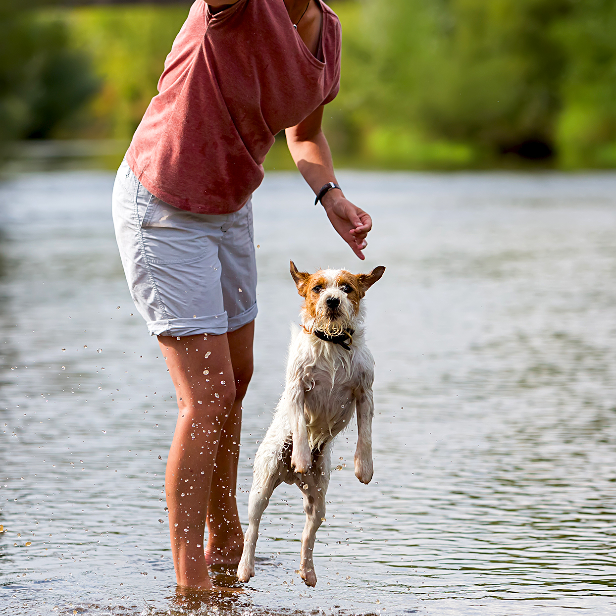 parson russell terrier jumping out of the water at a lake with his owner