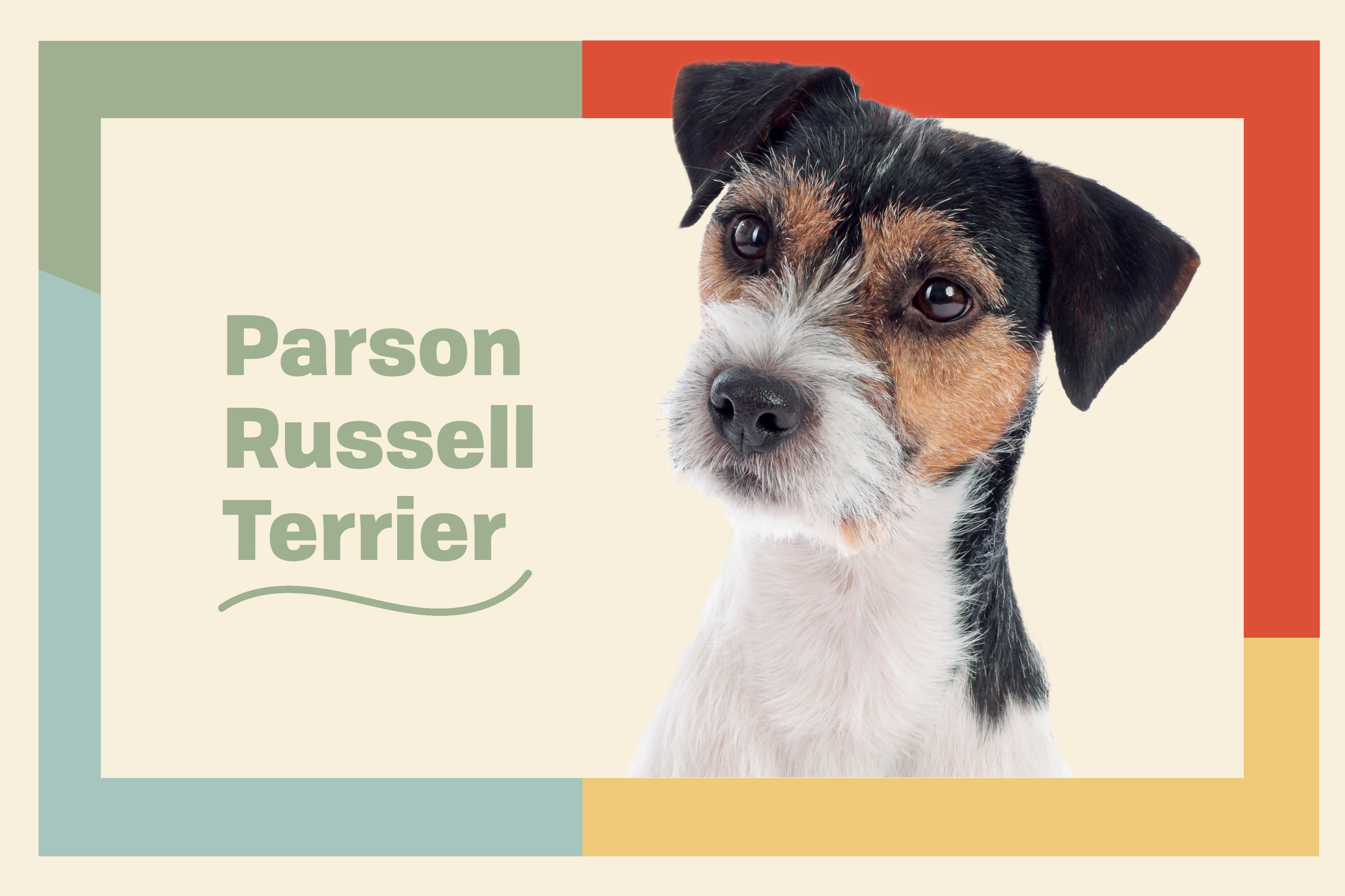 parson russell terrier dog breed profile treatment dog on illustrated background