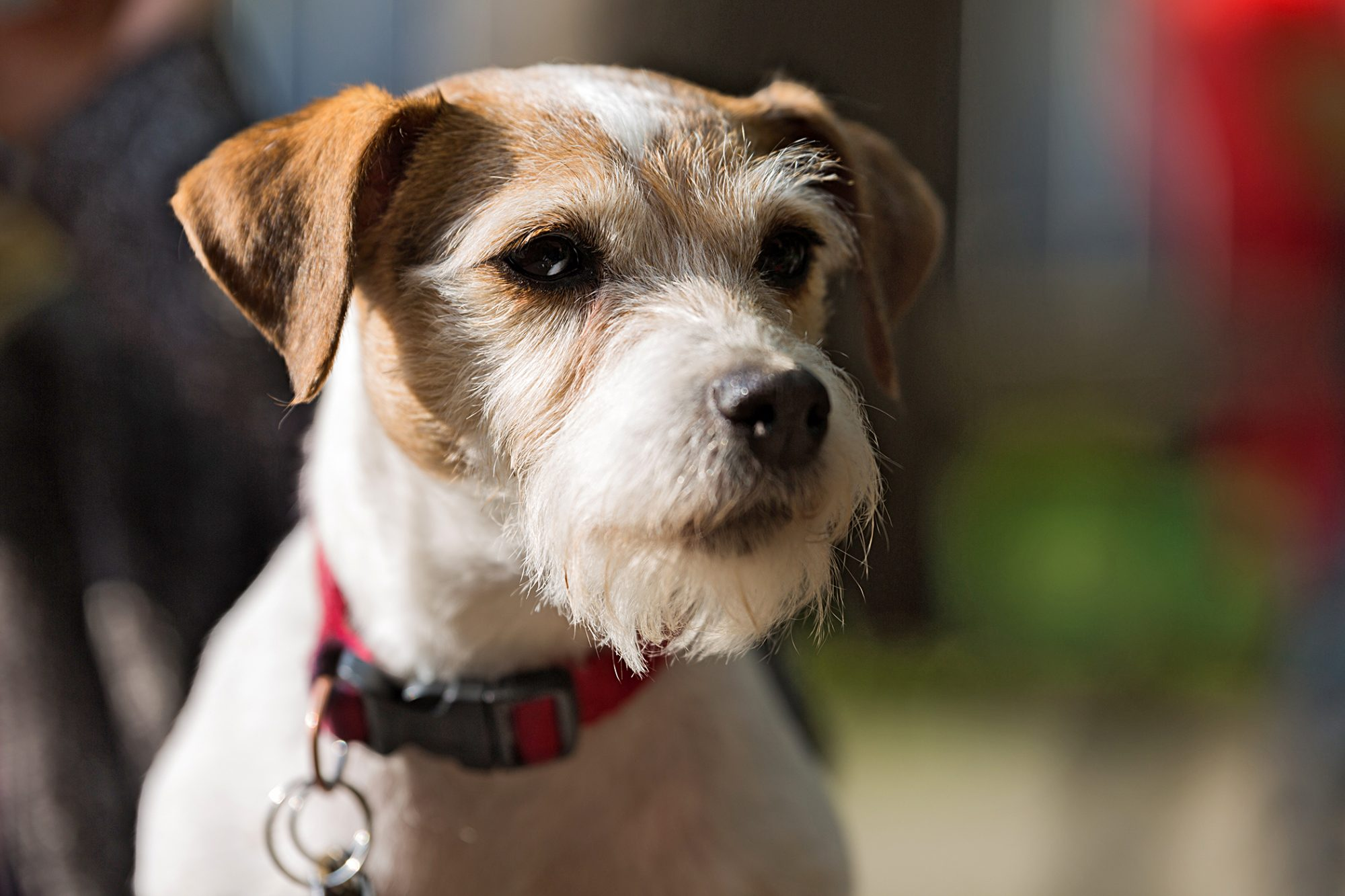 closeup of a parson russell terrier wearing a red collar