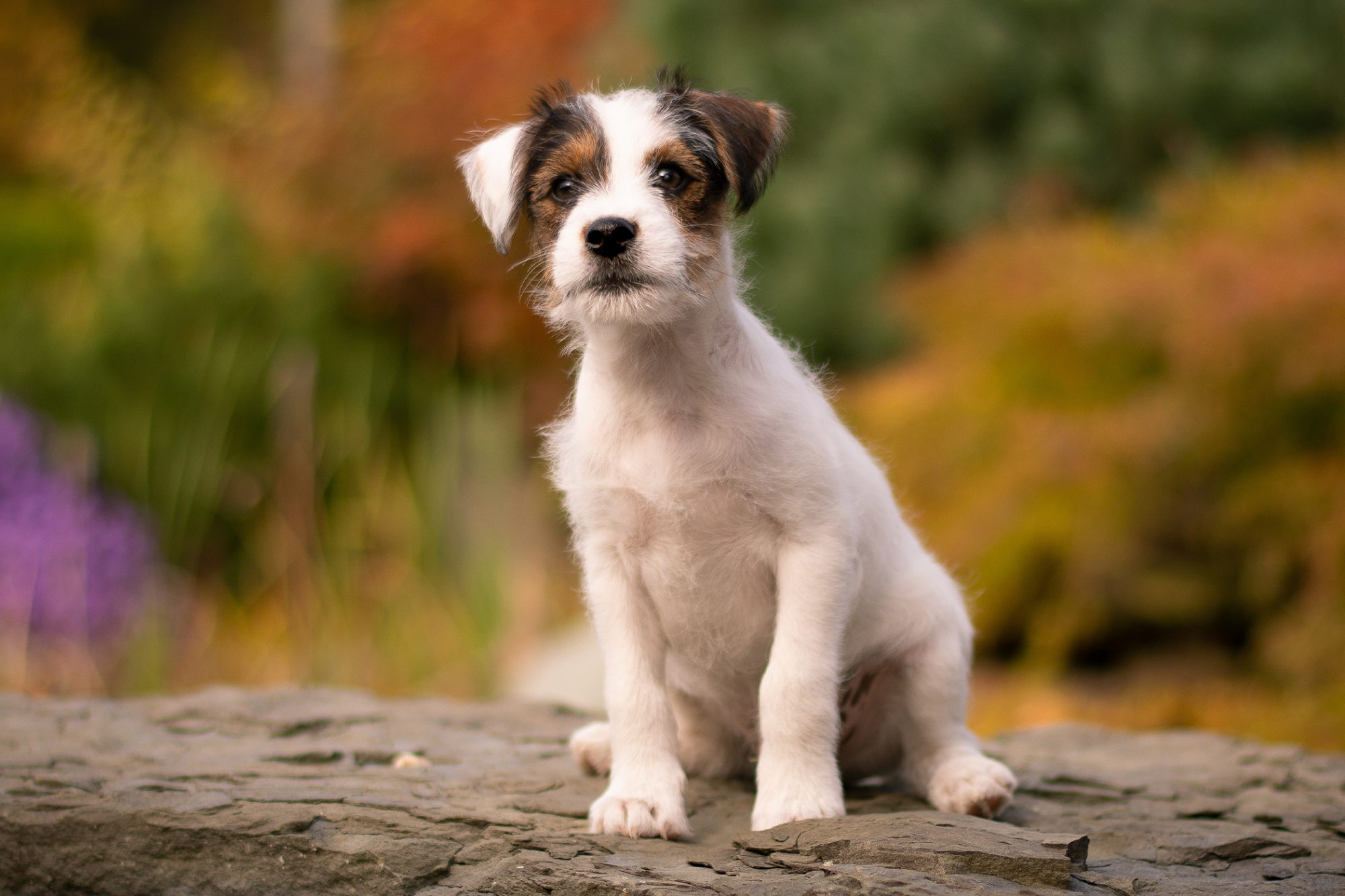 parson russell terrier sitting on rock with fall foliage in the background