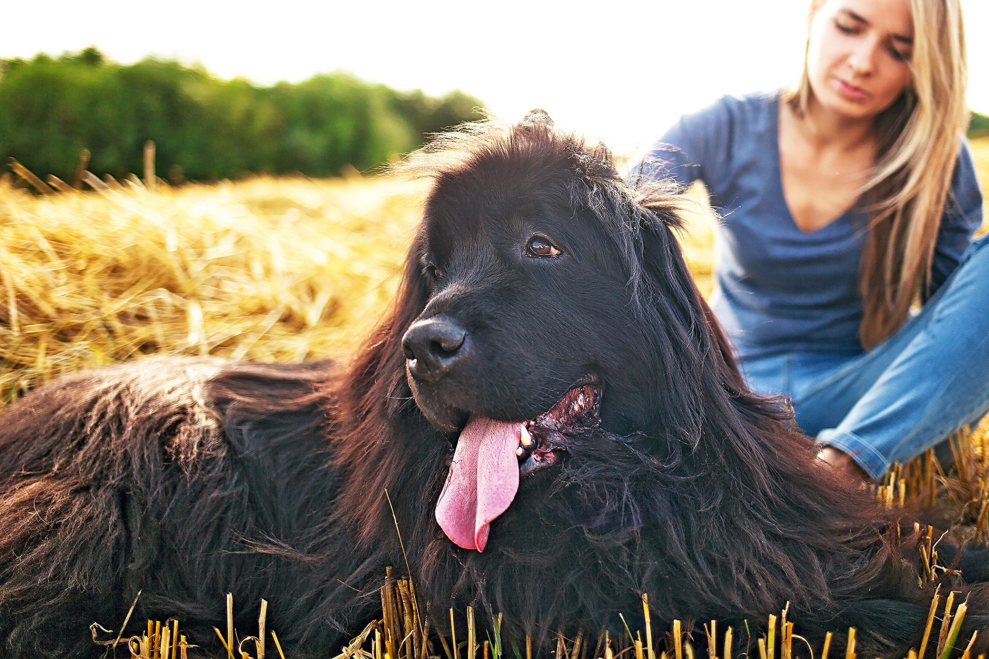 newfoundland dog lying in a in field with her tongue out next to a blonde woman