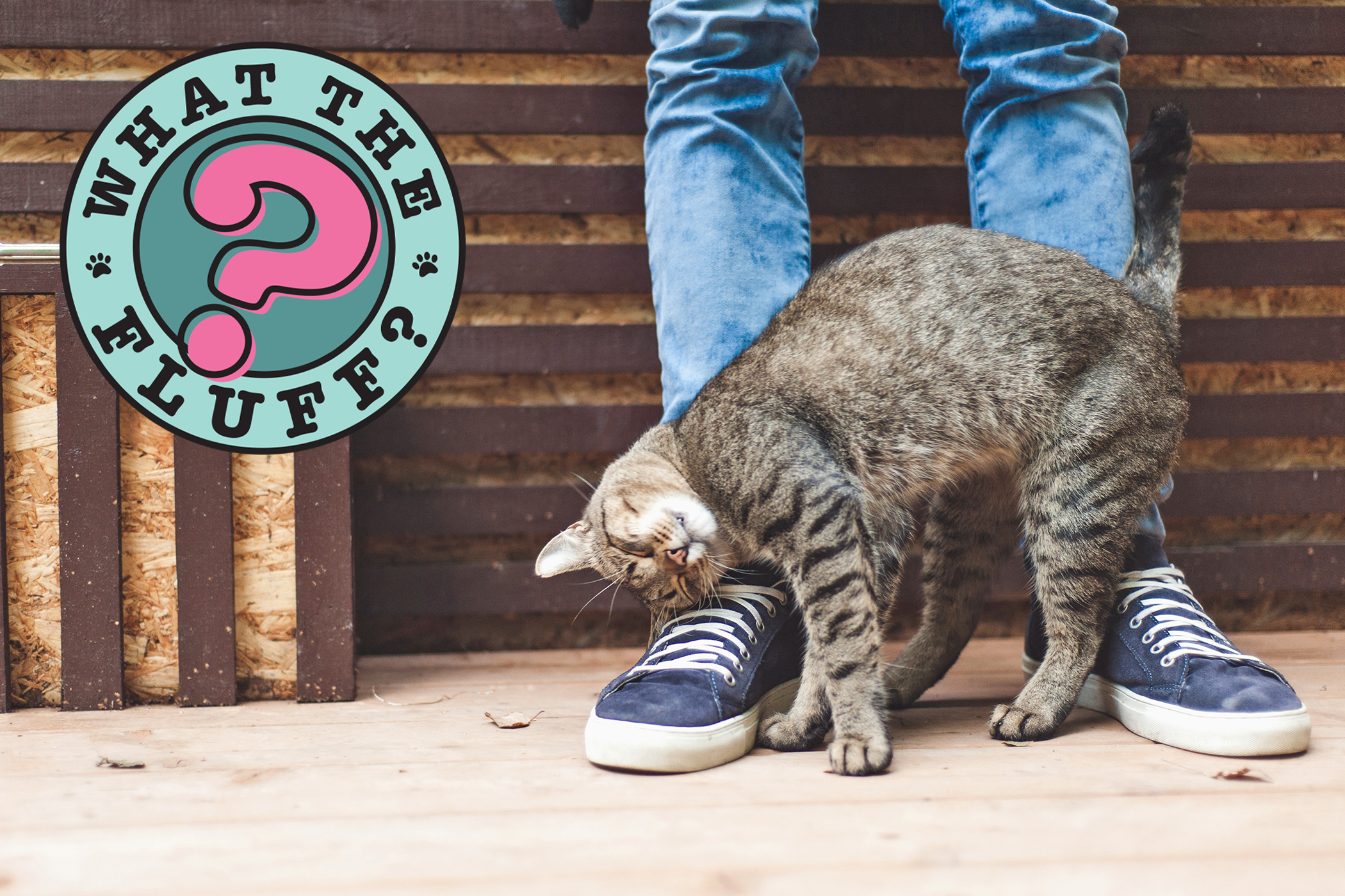 why do cats rub against you photo of a tabby cat rubbing against jeans and shoes with a what the fluff logo in the corner