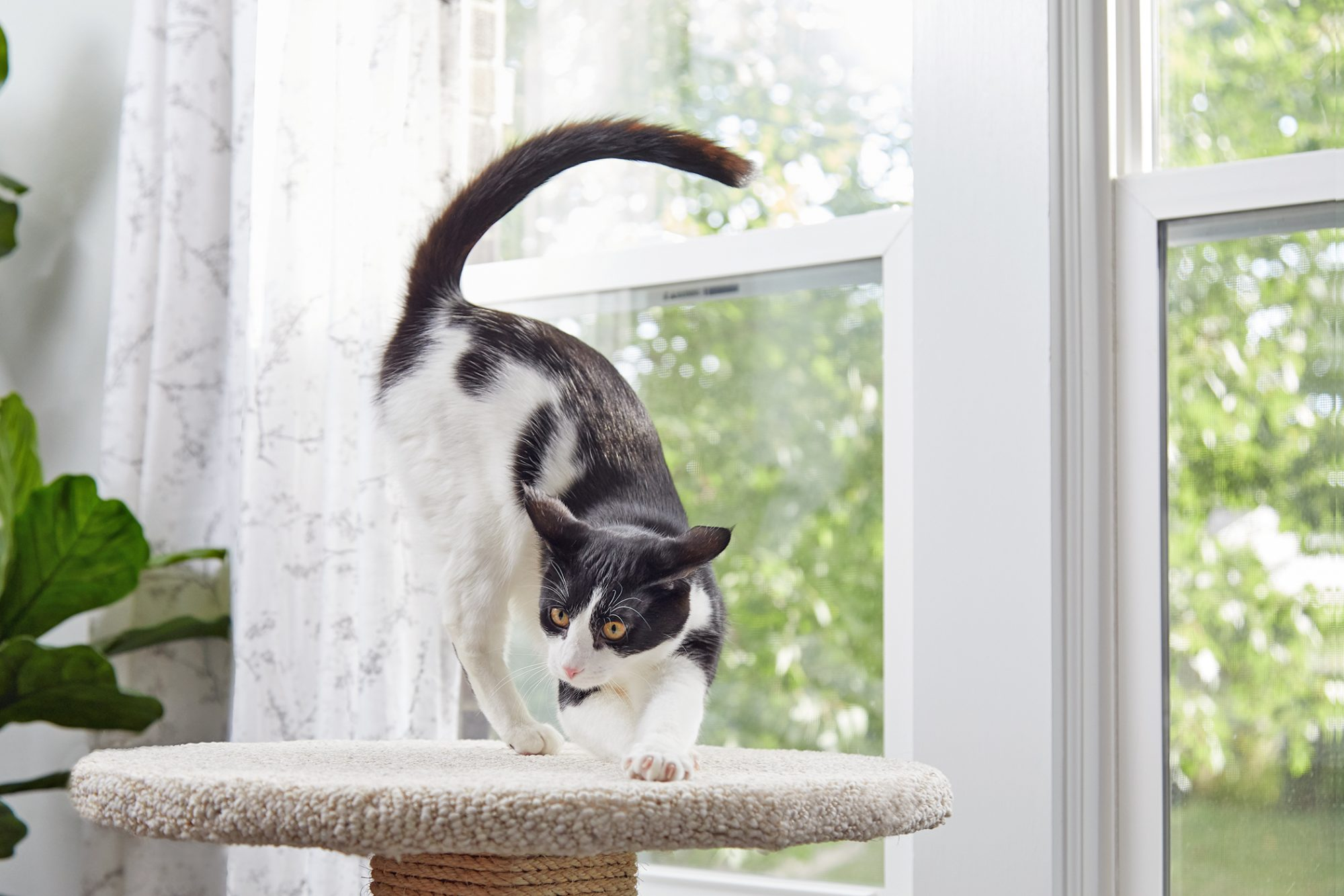 black and white cat stretching on a diy cat scratcher