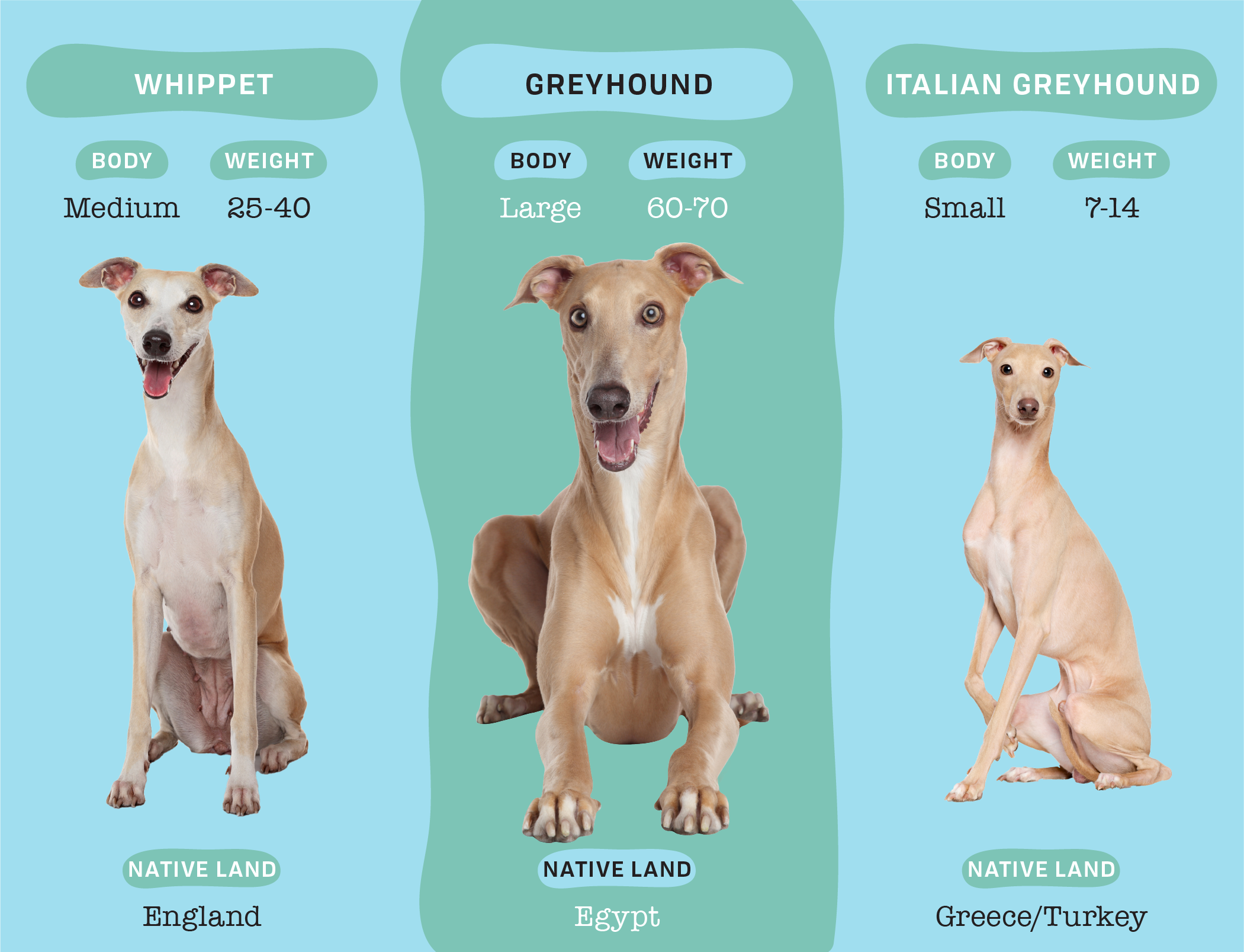 infographic comparing greyhound, italian greyhound and whippet dog breed physical characteristics dogs on blue and green background