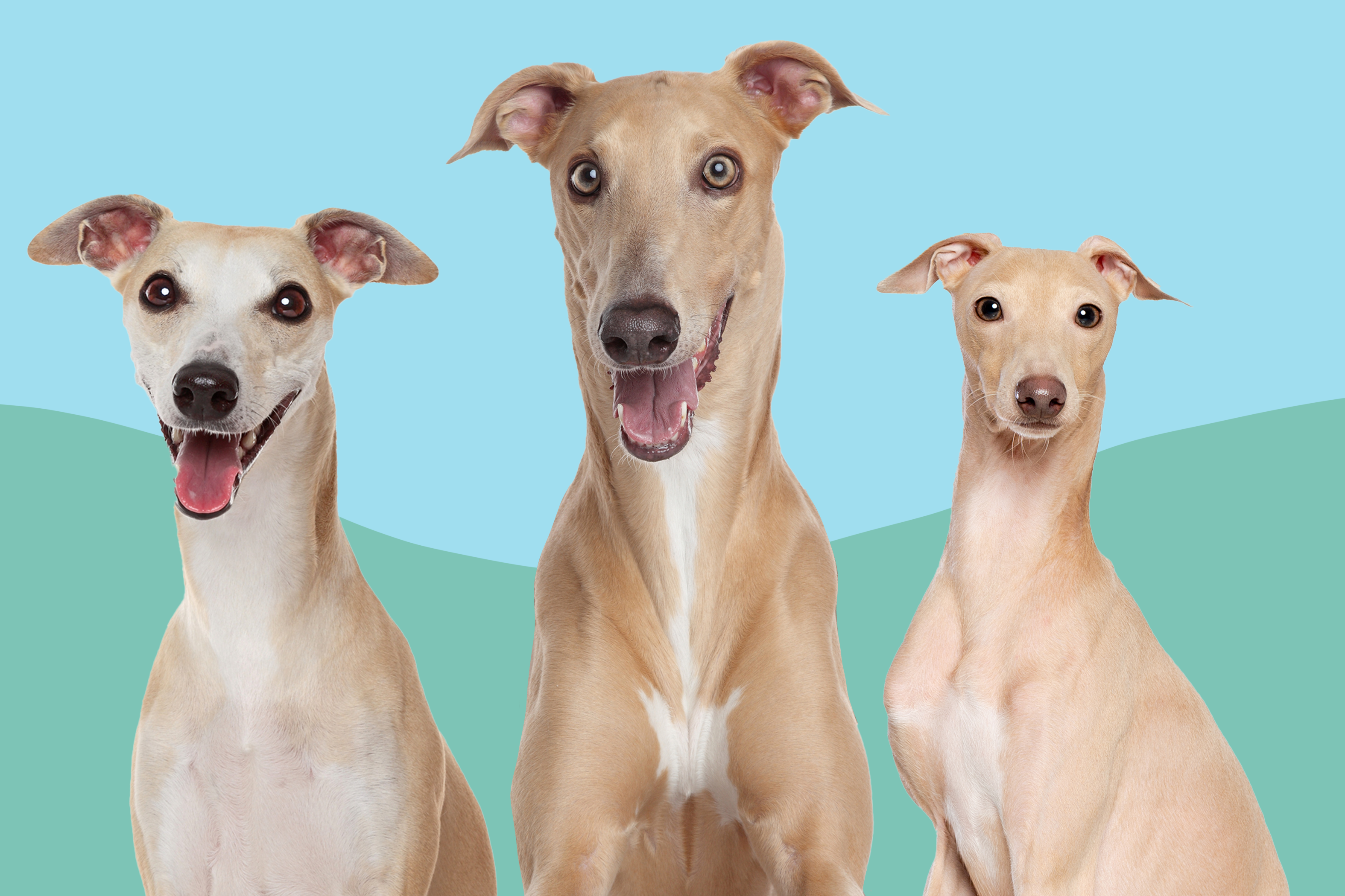 greyhound vs italian greyhound vs whippet dog breed comparison three dogs on a green and blue background