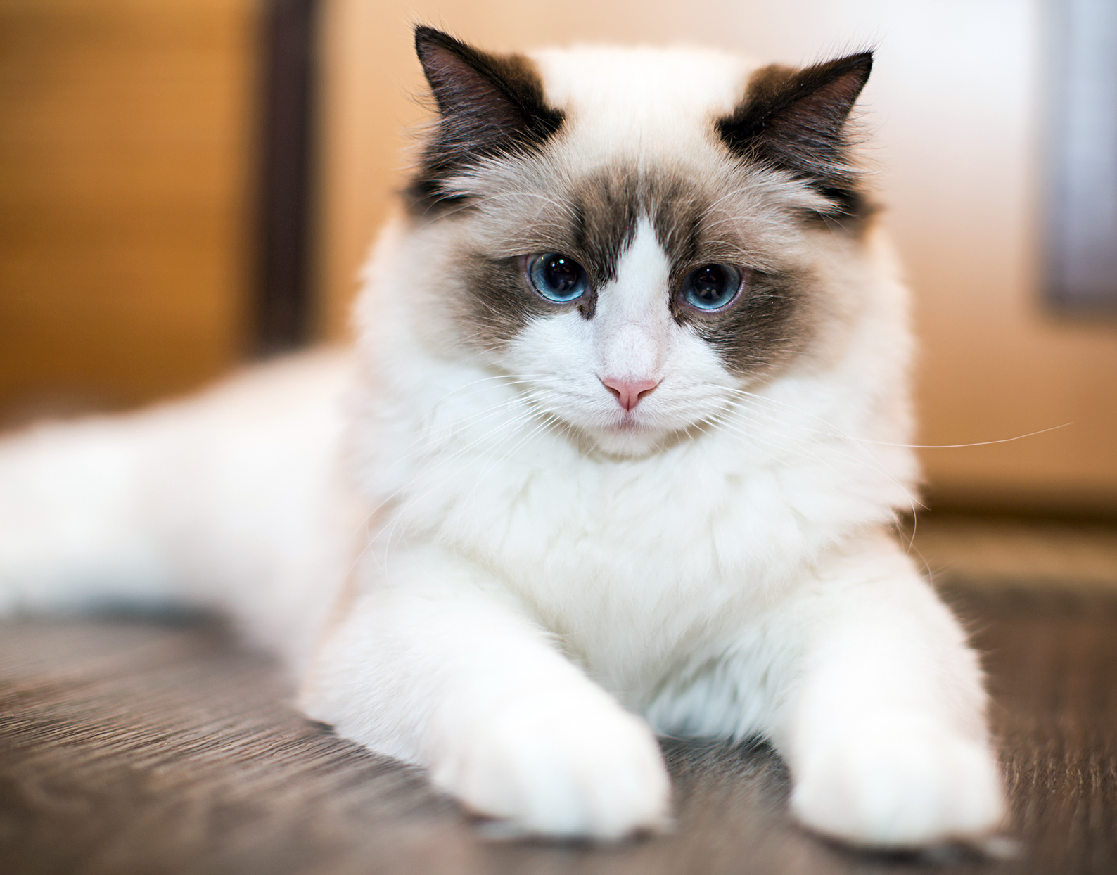 cute ragdoll cat lying on a wood floor looking at the camera