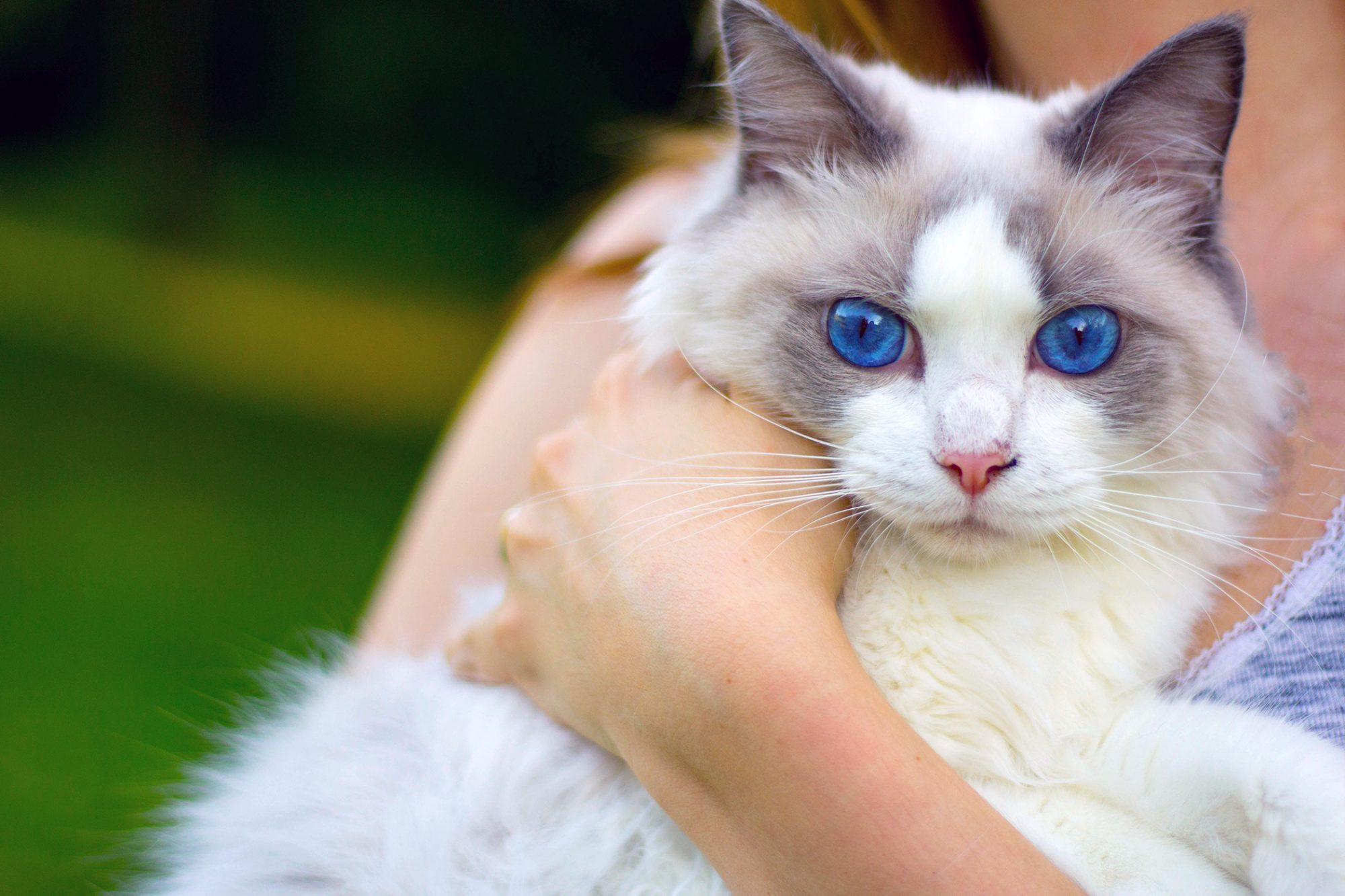 woman holding her ragdoll cat with bright blue eyes