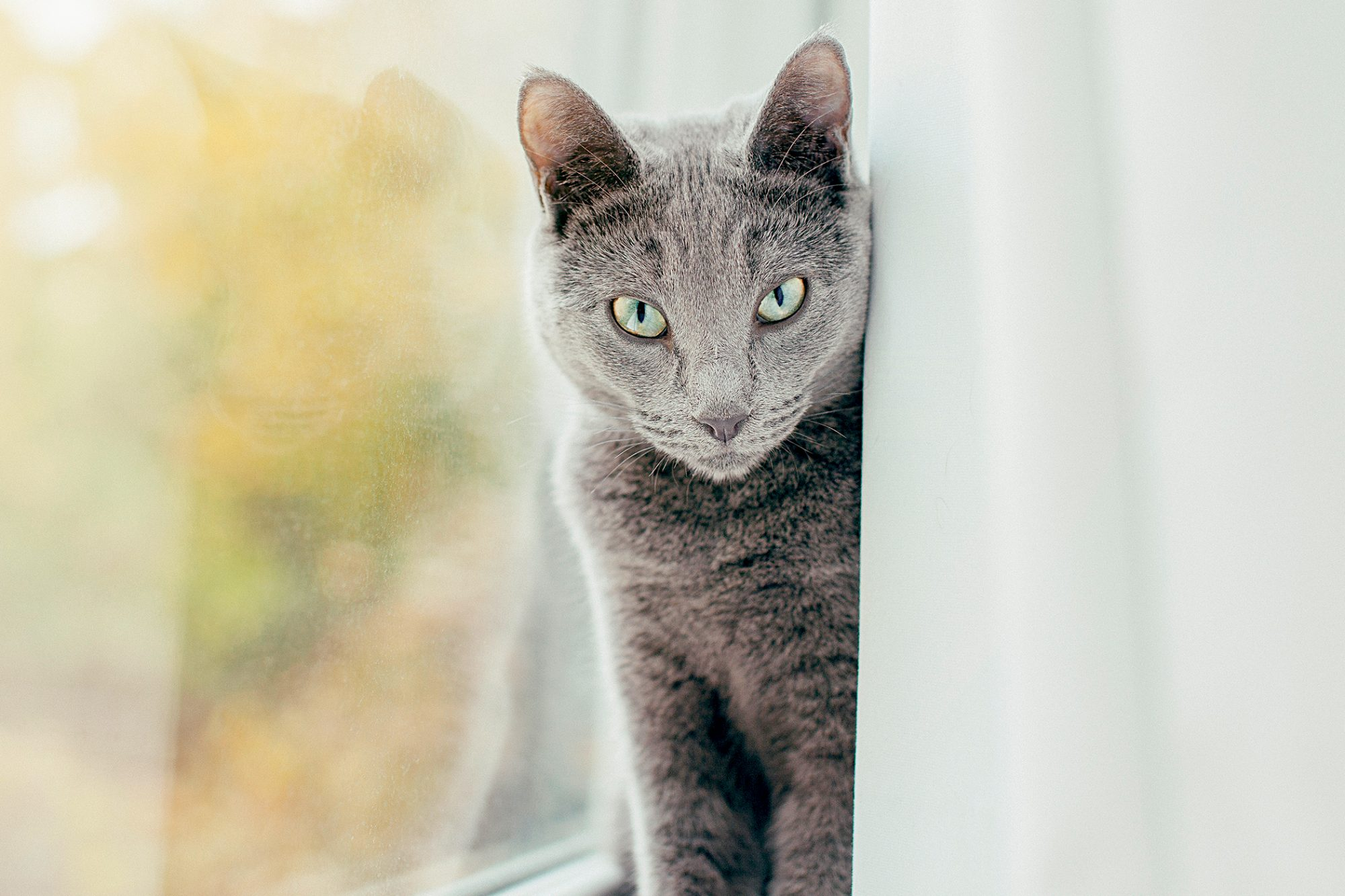 russian blue cat sitting behind window curtain looking at camera