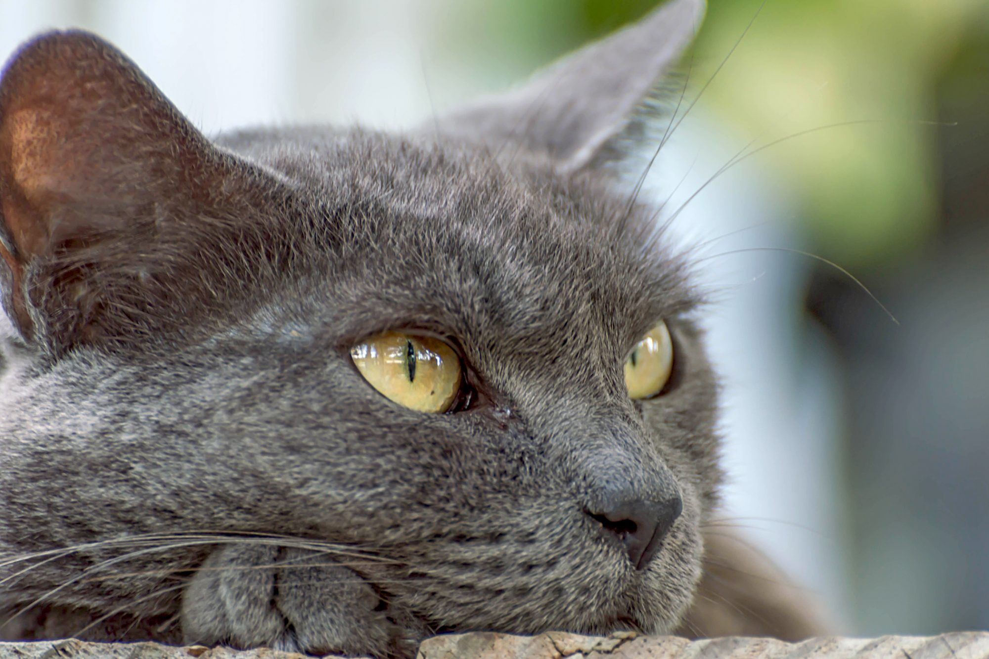 closeup of a russian blue cat with yellow eyes resting his head on his paw