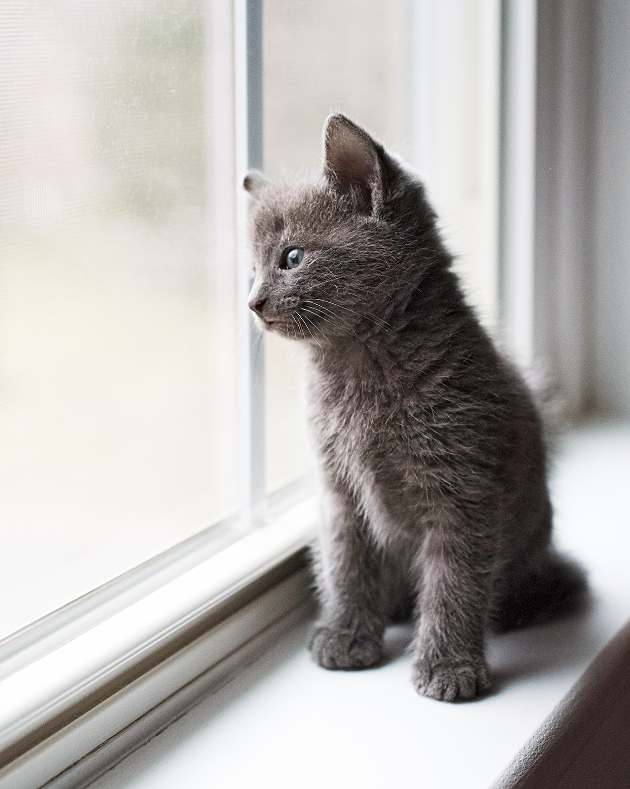 small russian blue kitten sitting on a white window ledge looking out the window