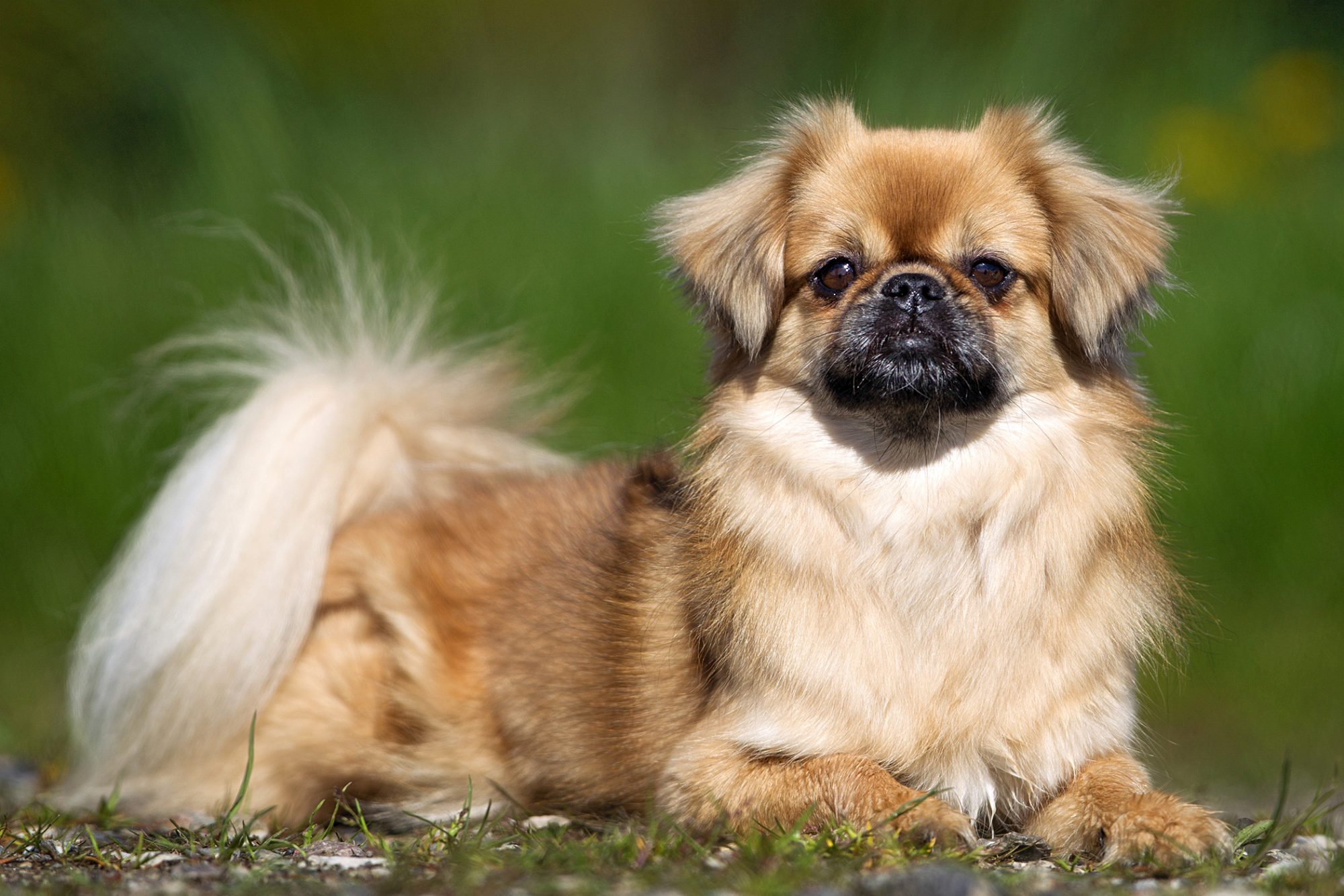 tibetan spaniel lying in grass looking at the camera