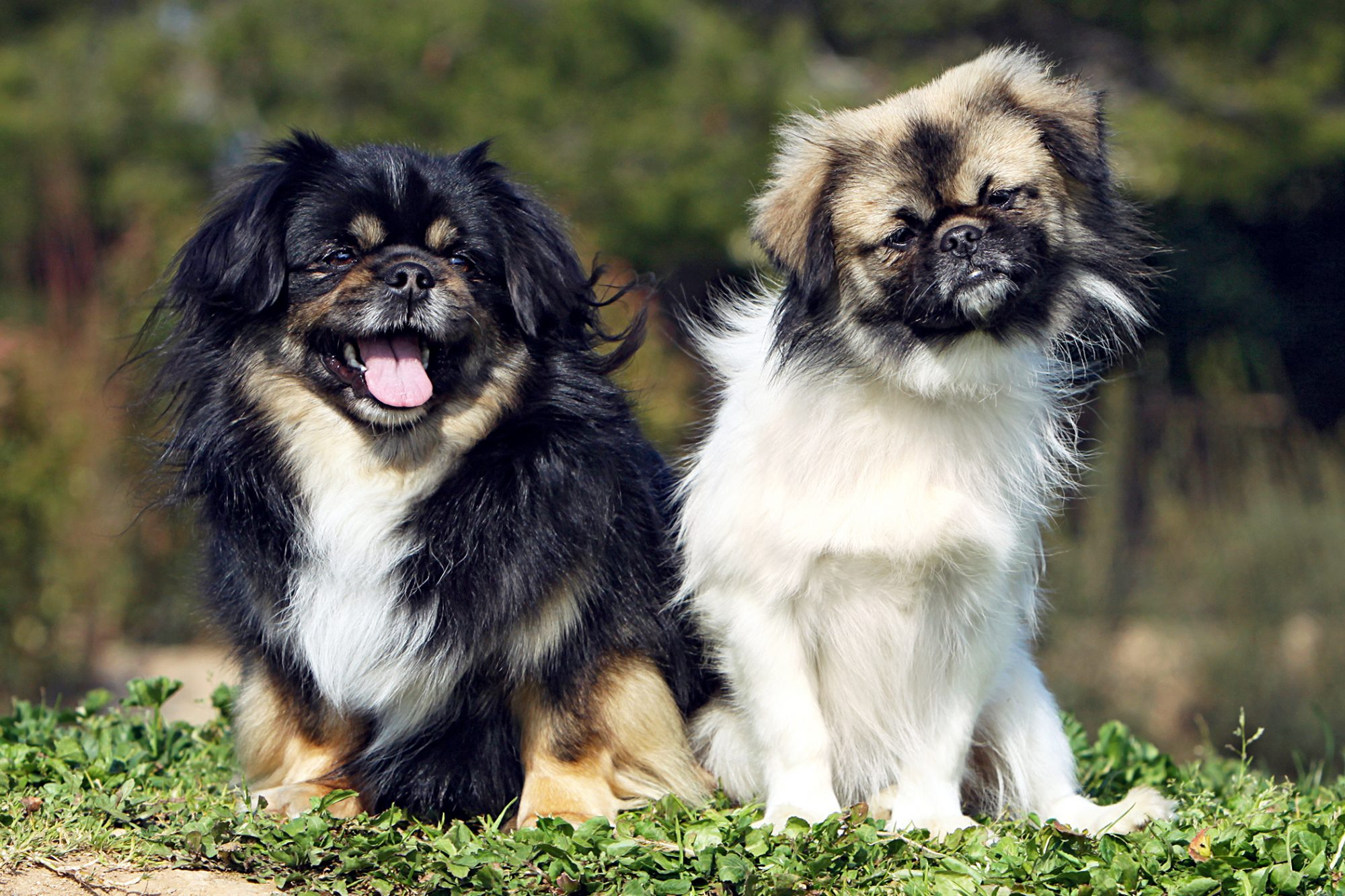 two tibetan spaniel dogs sitting next to each other outside
