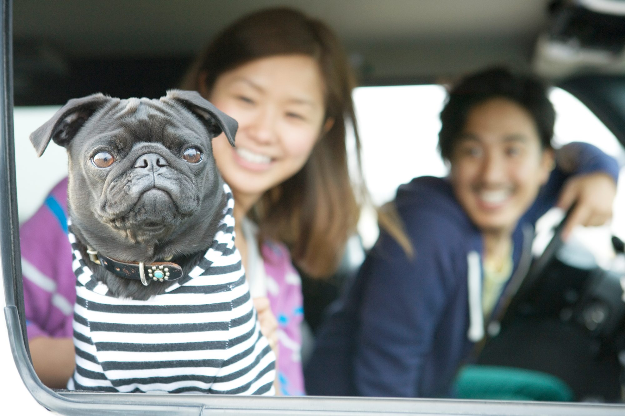 Black pug wearing a striped shirt looking out car window with her owners smiling in the back