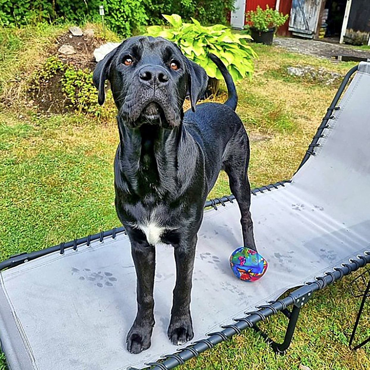 black boxador with lab body and boxer snout