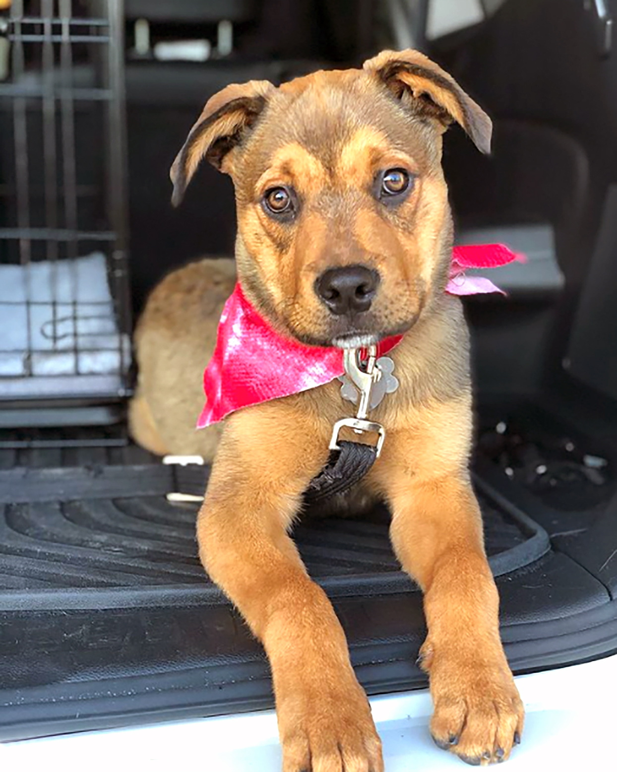 boxer lab mix with boxer markings and labrador fur