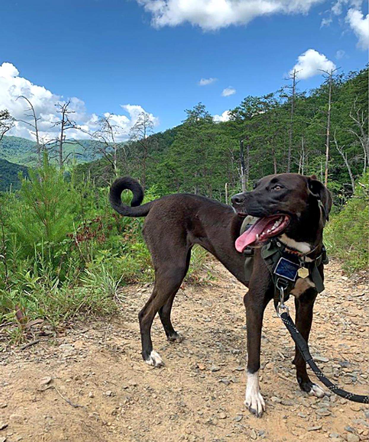 black labradane with dane body and lab face on a hiking trail