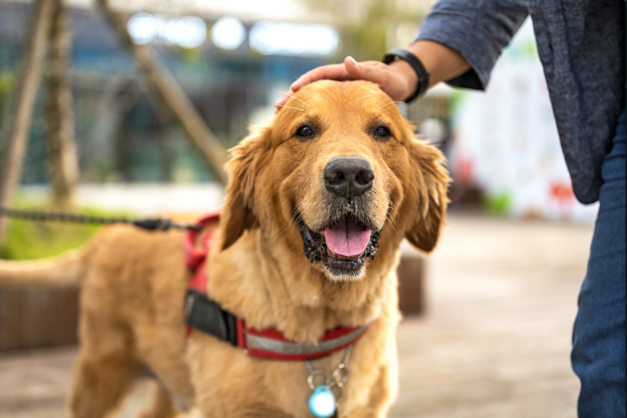owner petting their golden retriever on the head