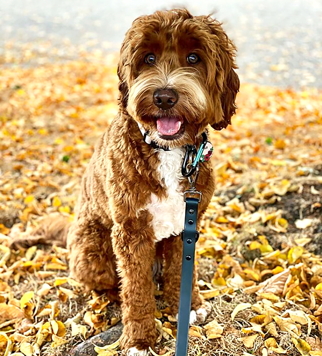 labradoodle with red and white wavy fur sitting in autumn leaves