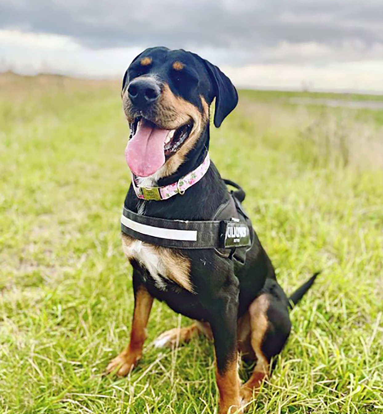 rottweiler lab mix with rottweiler markings and labrador body